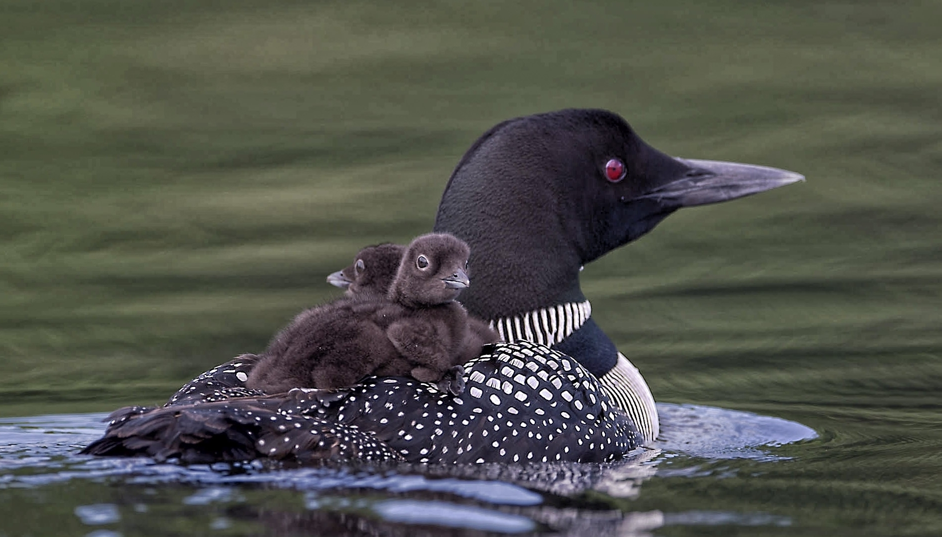 Common Loon chick photography workshop