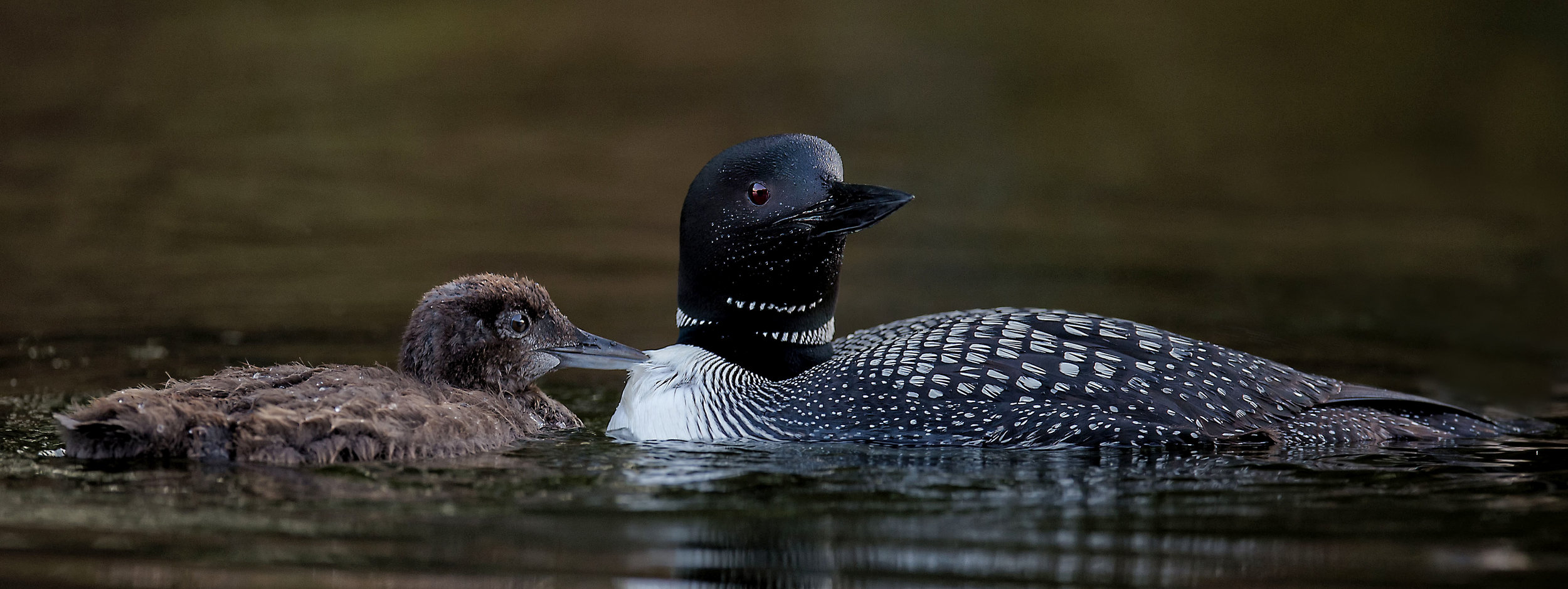 Common Loon photo tours