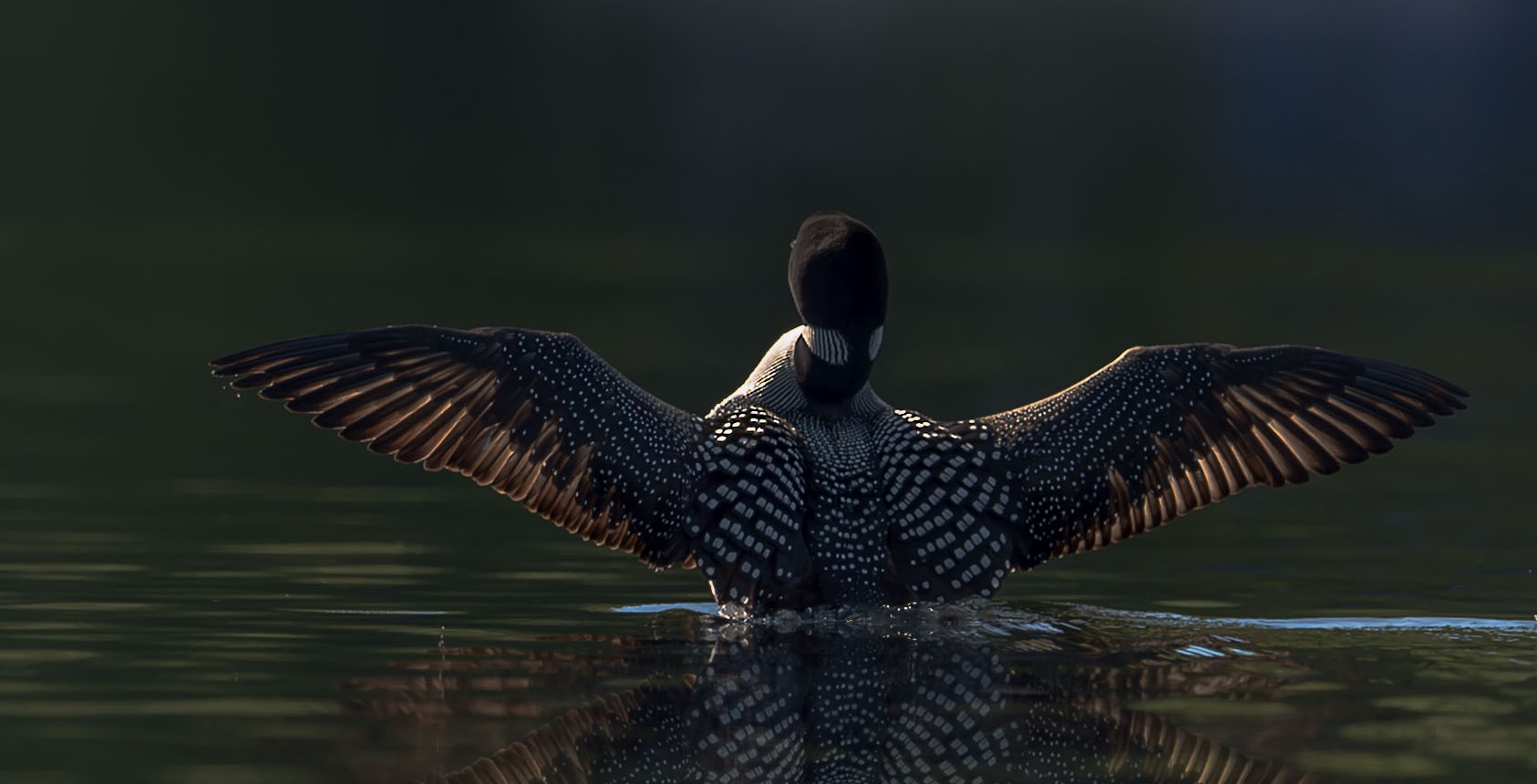 Common loon photography workshops