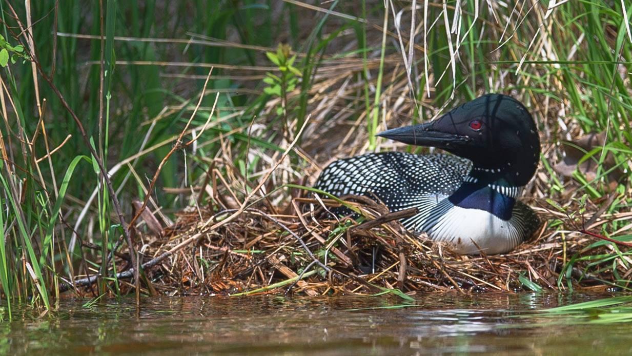 Common loon on nest photo tour