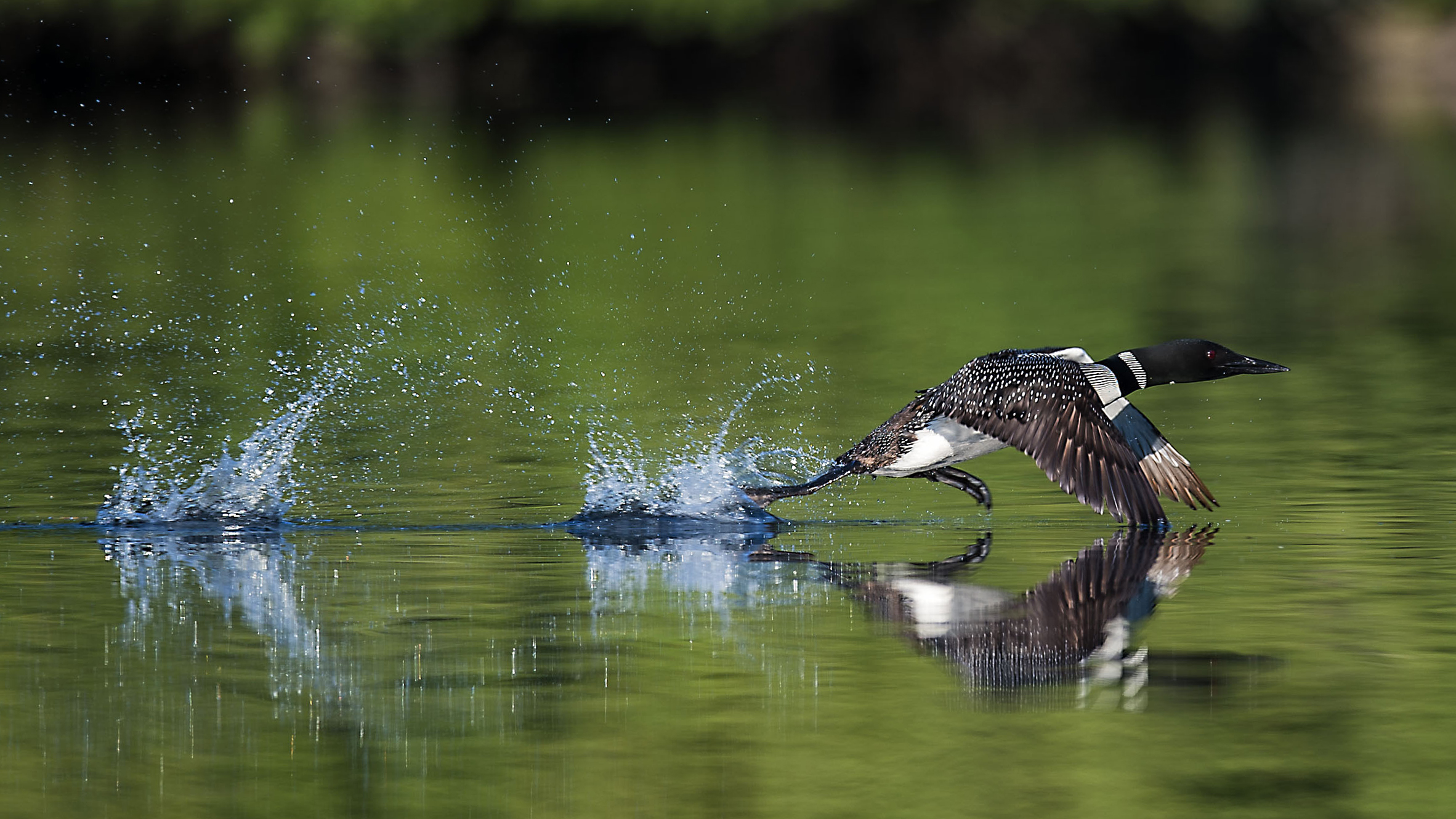 Common loon on take off Kevin K Pepper