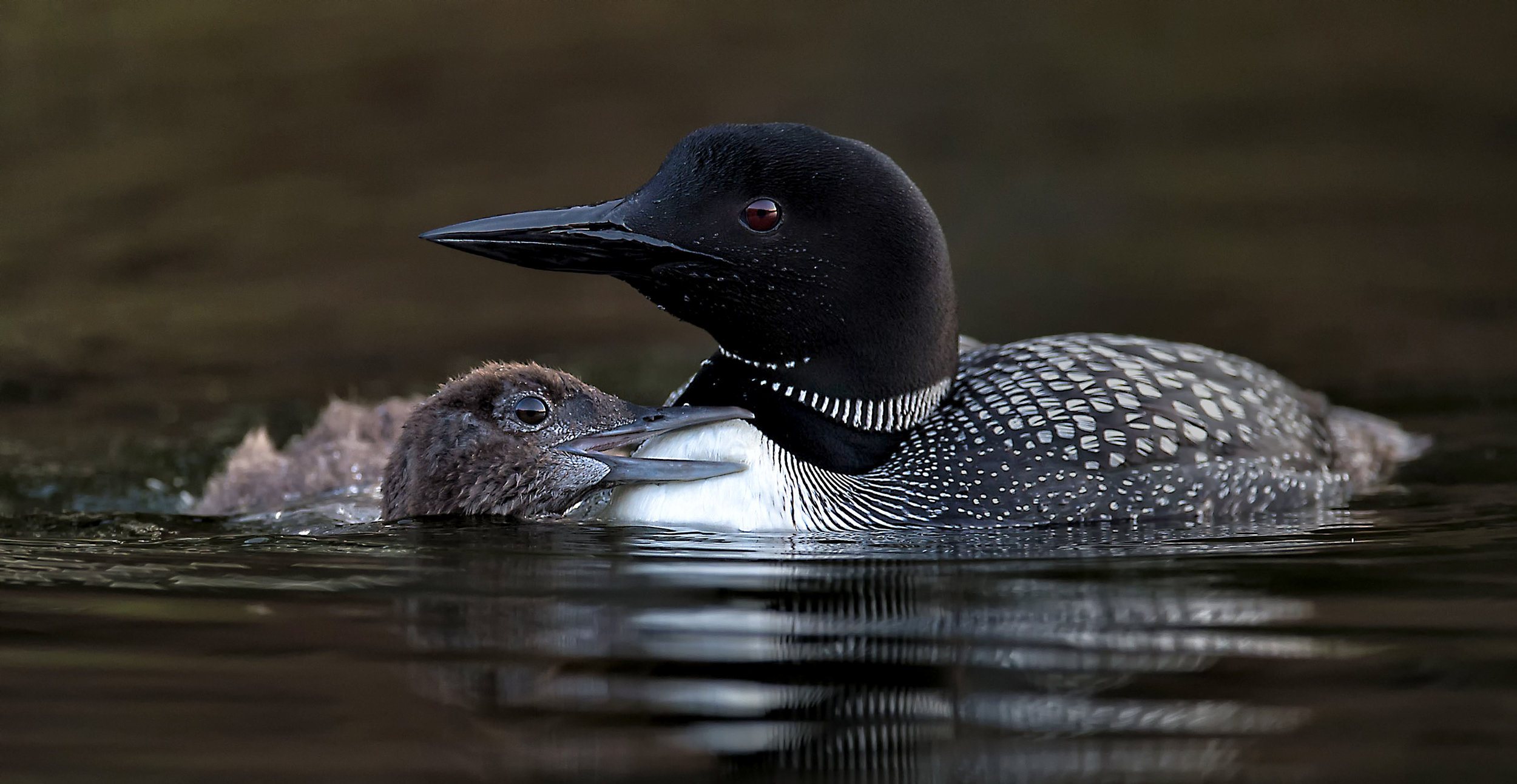 Common loon chick photo workshops