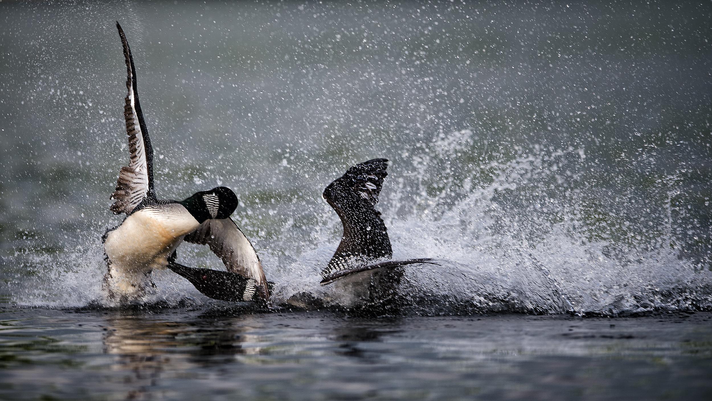 Common Loon territorial battle common loon workshop