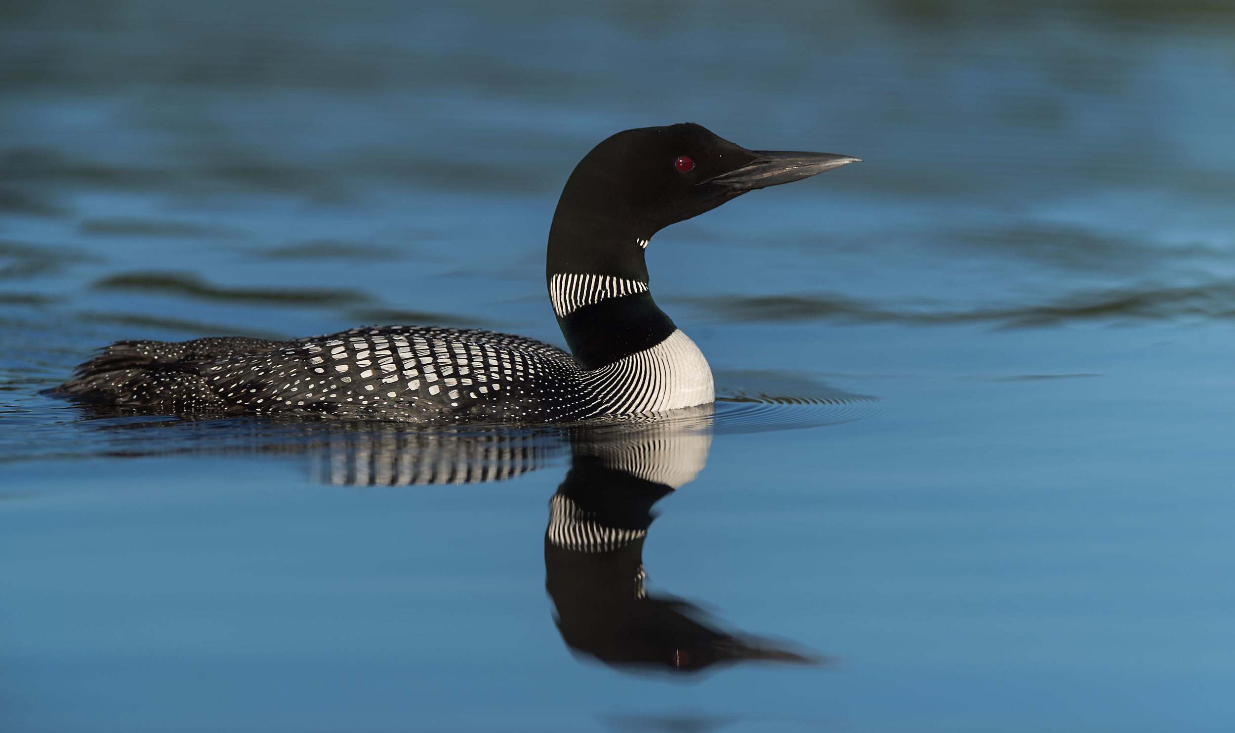 Common Loon photo reflections