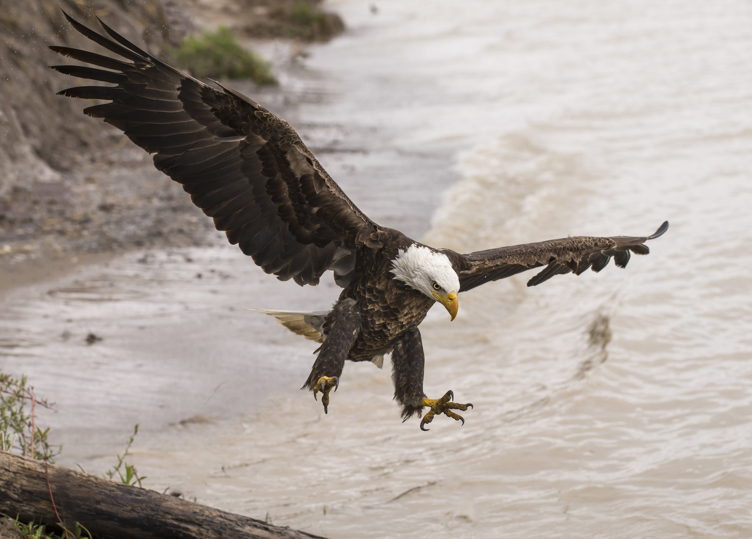 bald eagle for the site.jpg