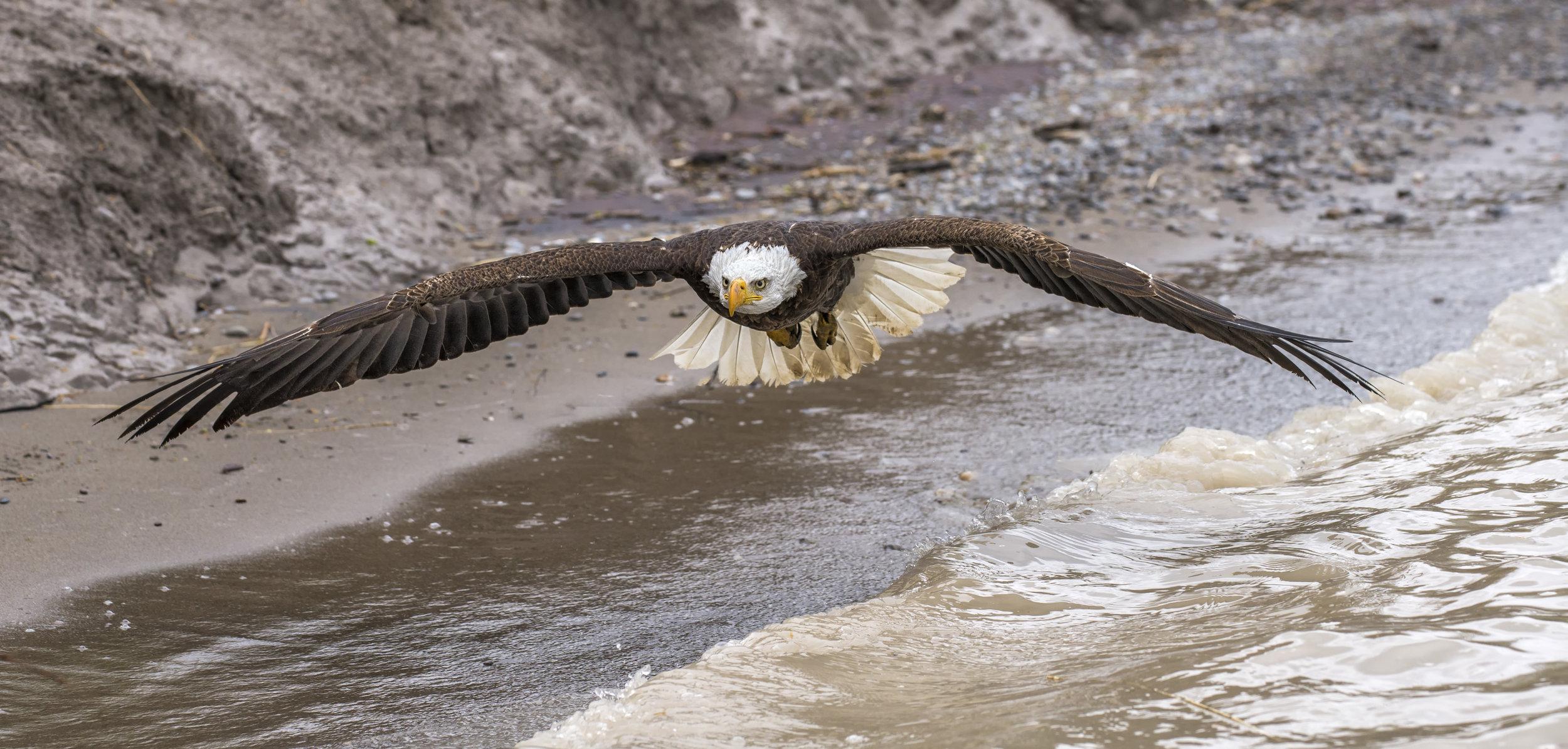 Bald Eagle for Jeff.jpg