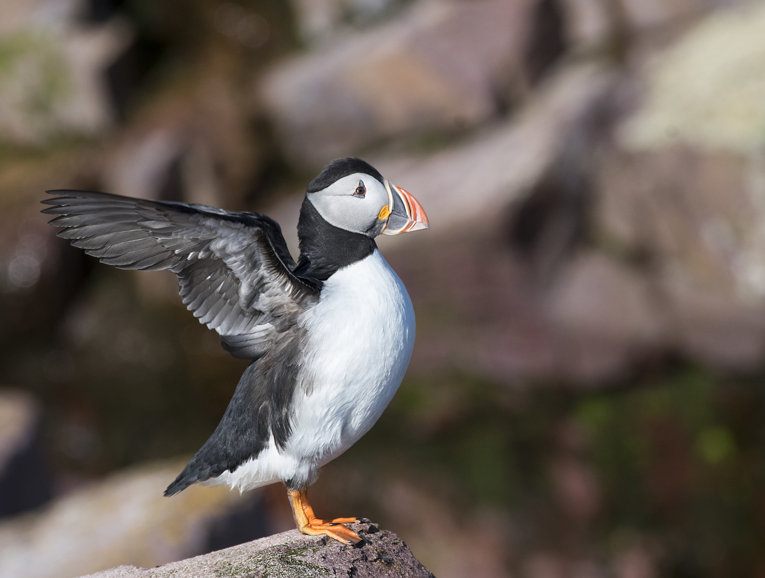 Puffin flapps its wings .jpg