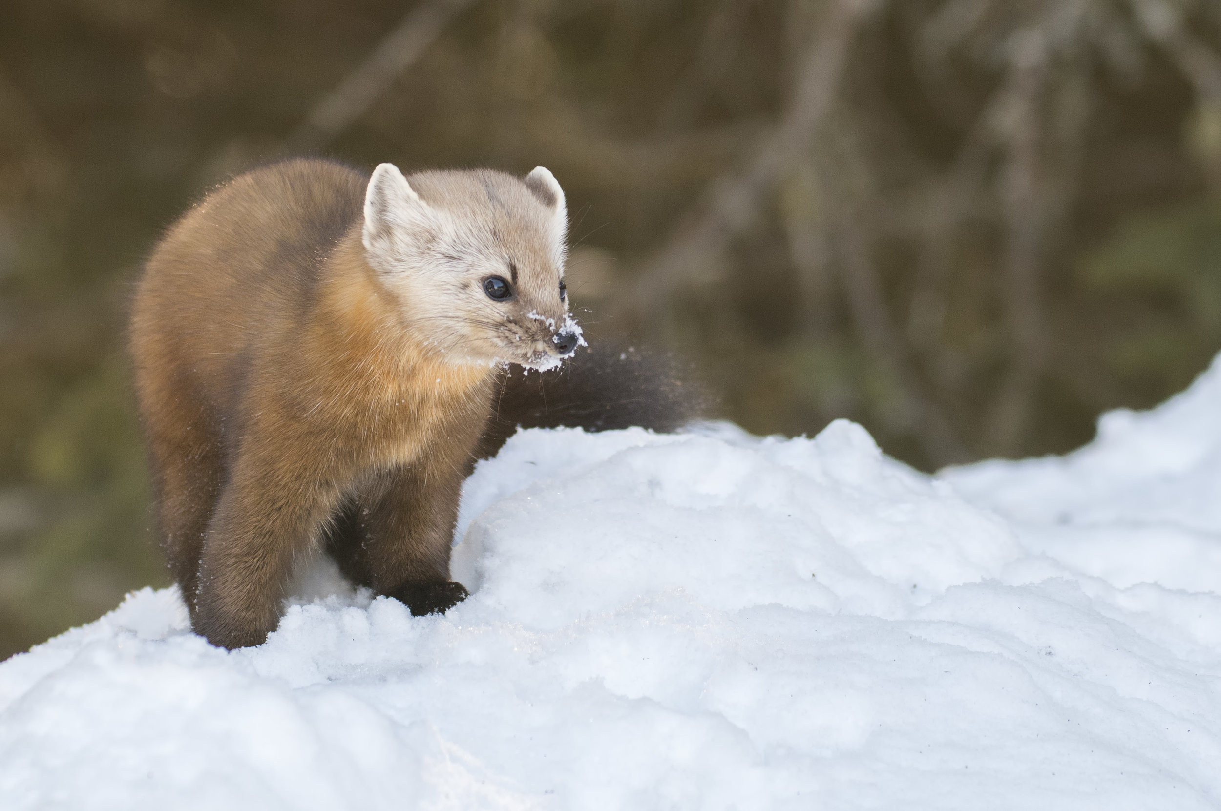 Pine Martin snowy nose .jpg