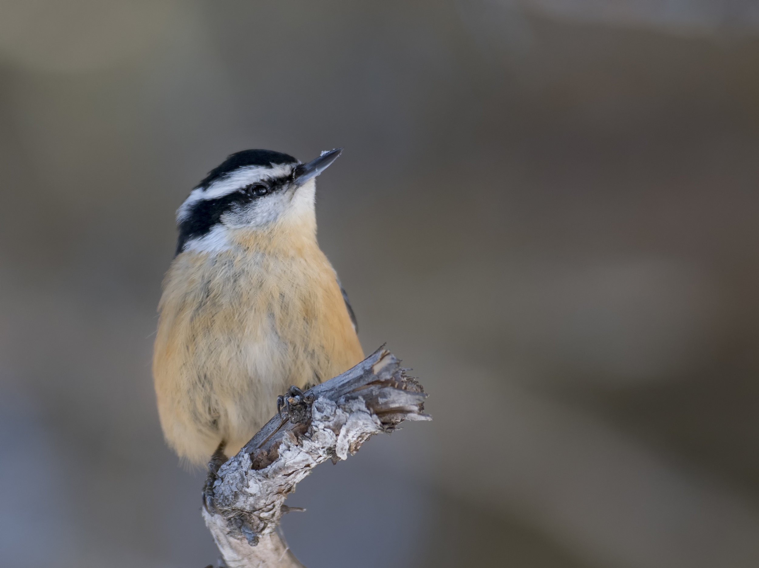 red breasted nuthatch .jpg