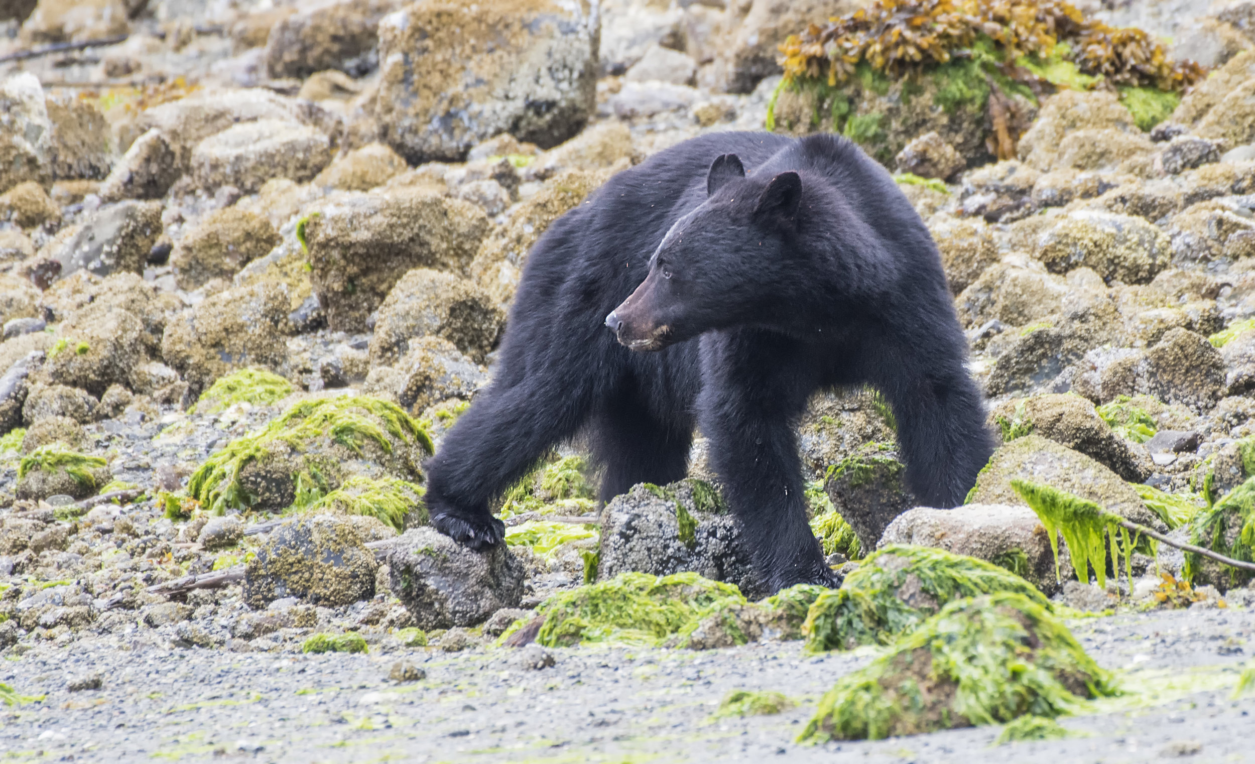 Black Bear looking at his friend.jpg