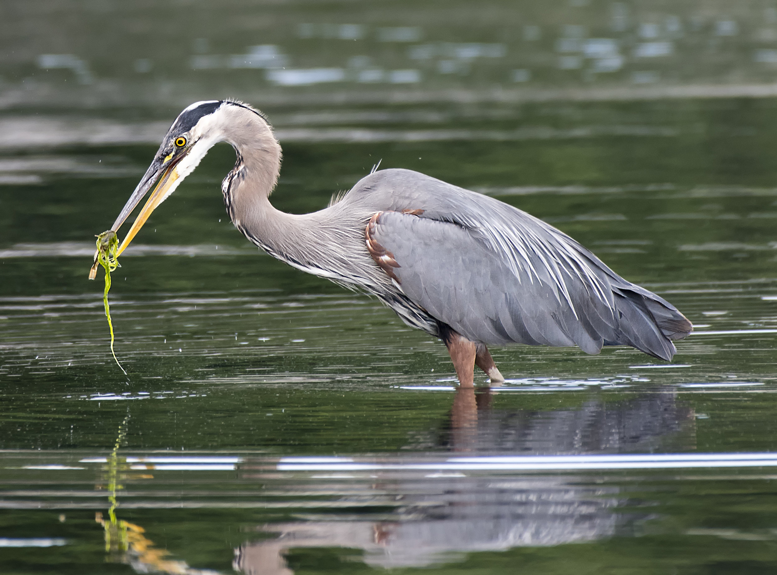 Blue heron photo tours
