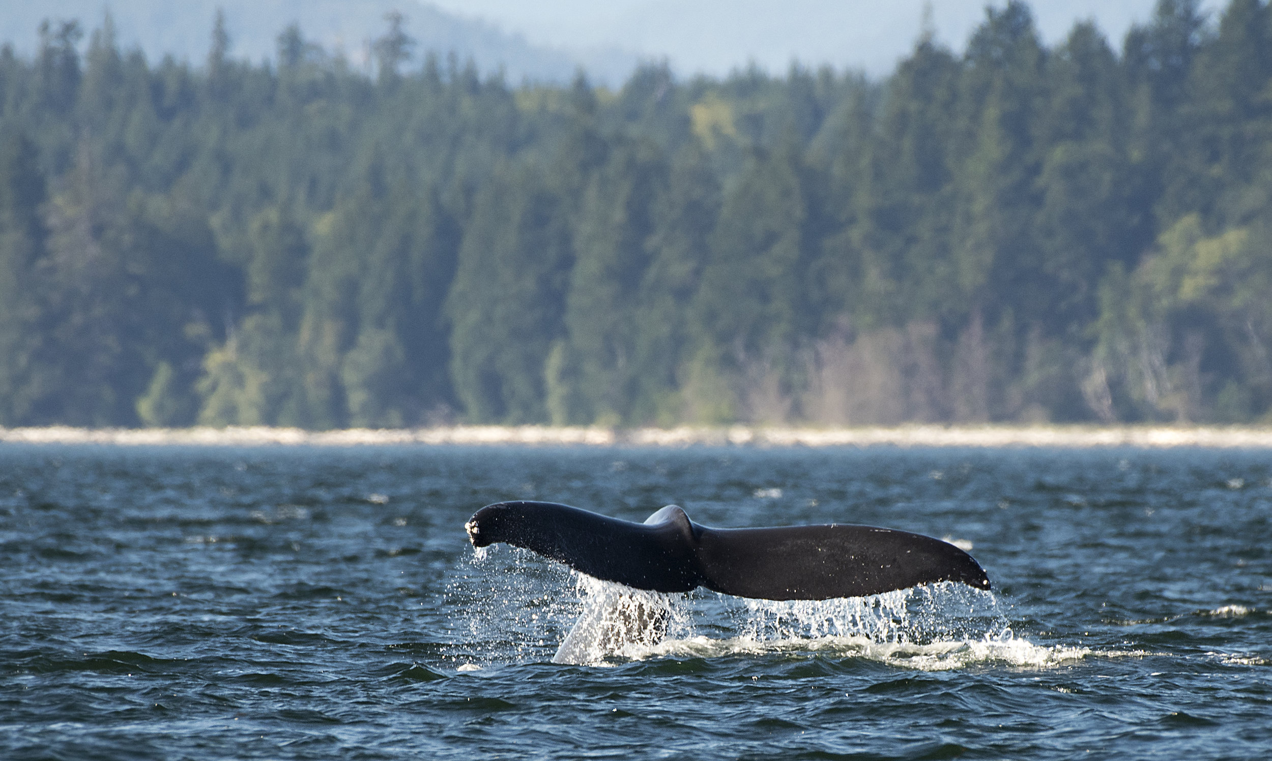 Whale tail in Campbell river.jpg