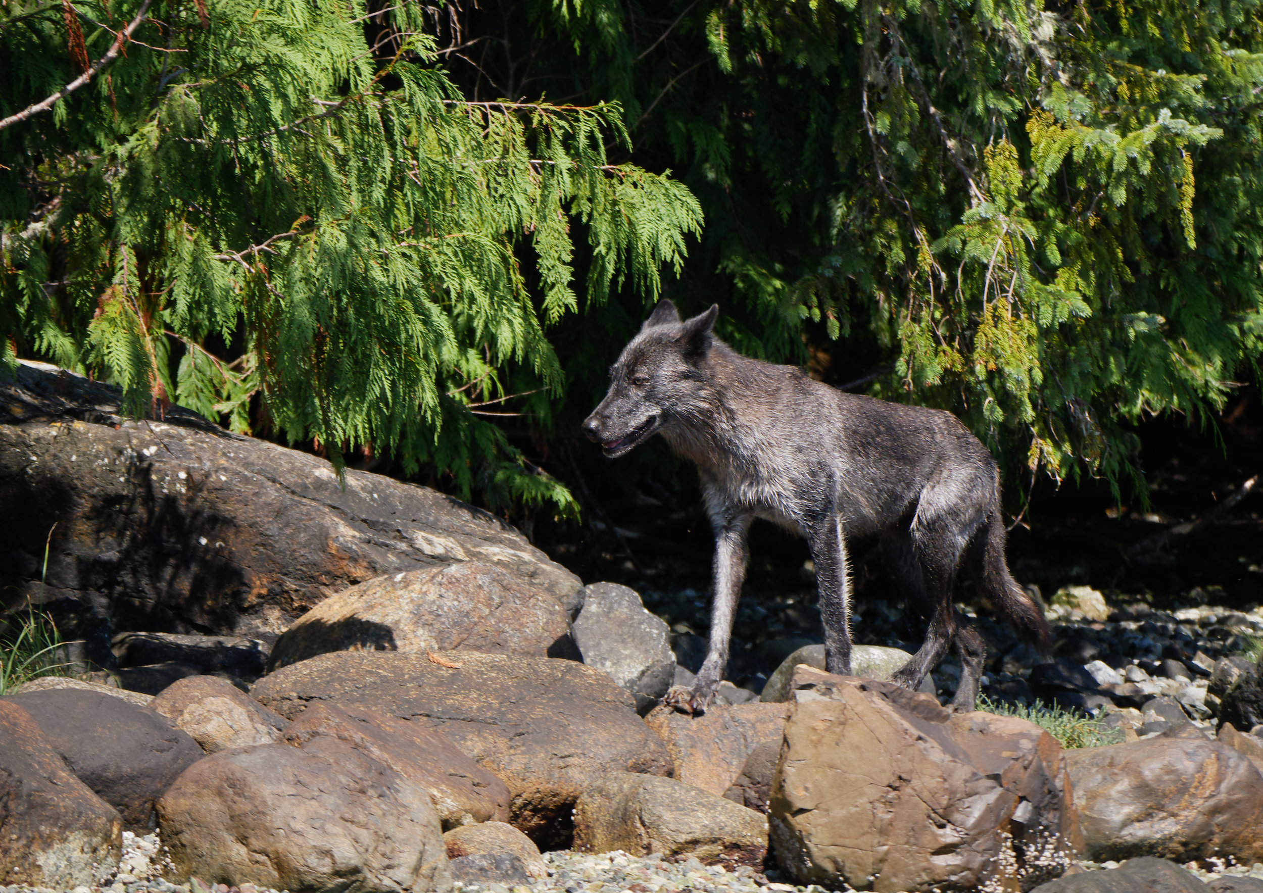 BC wolf images