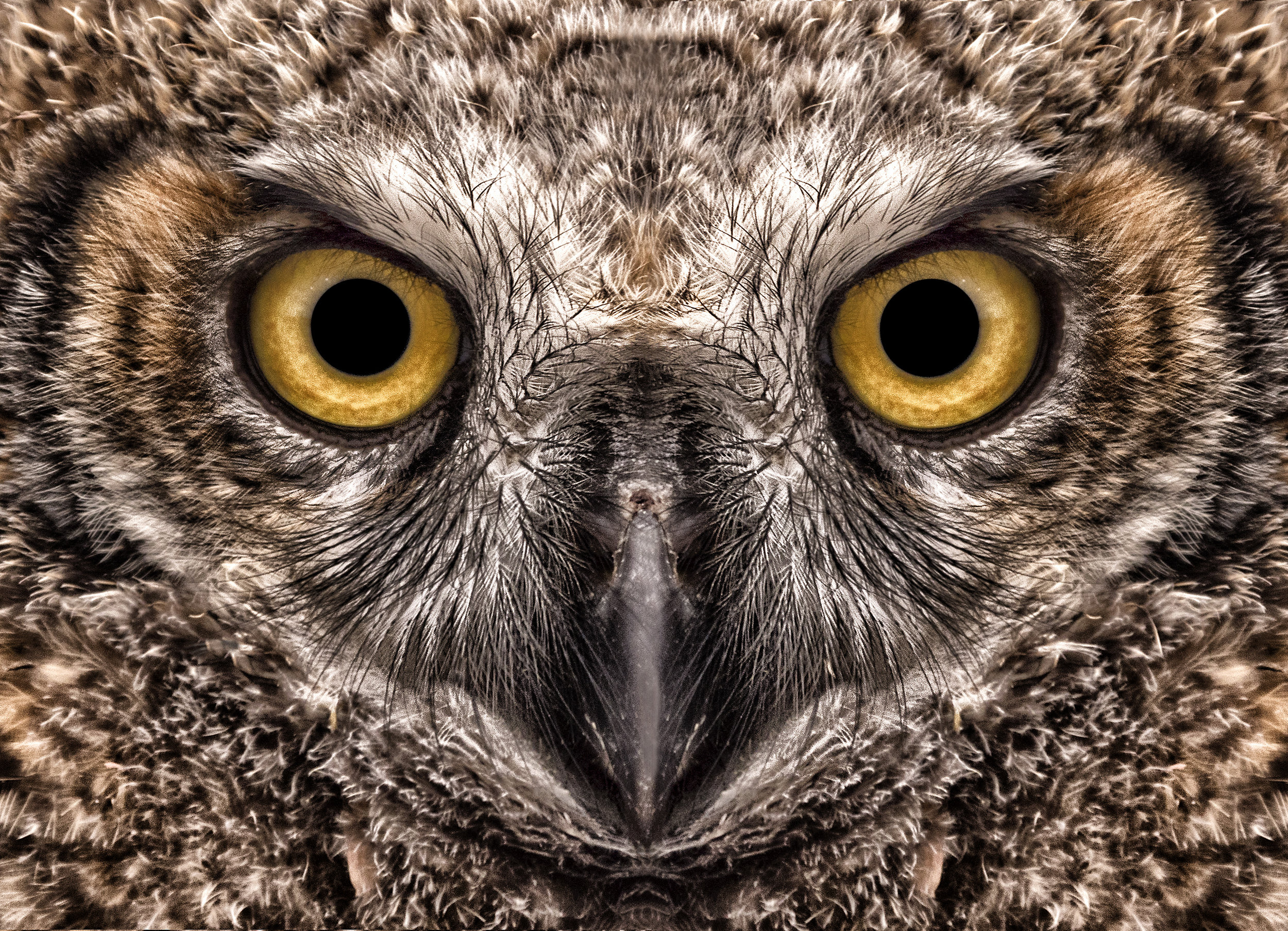 great horned close up.jpg