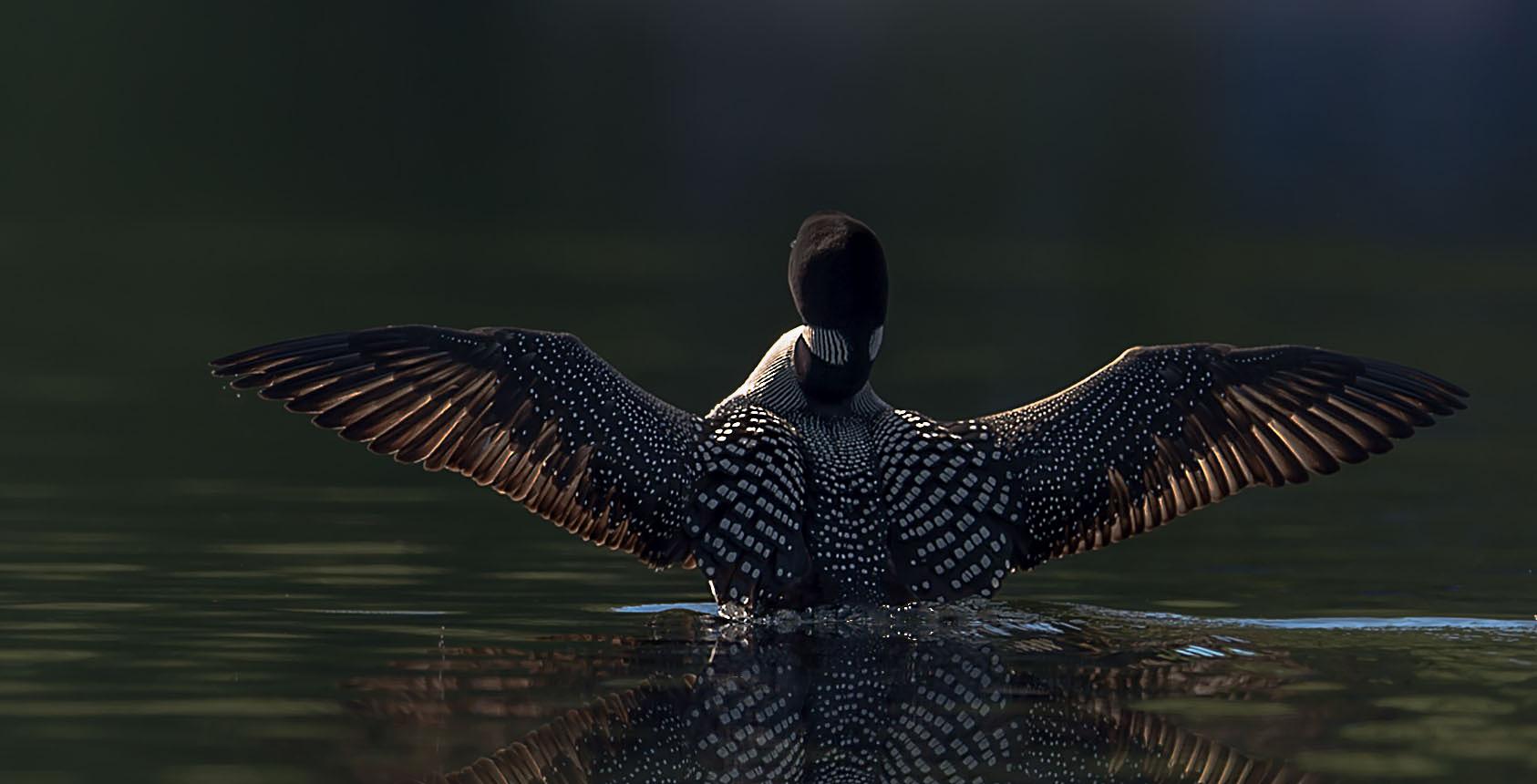 Loon Wings PS.jpg