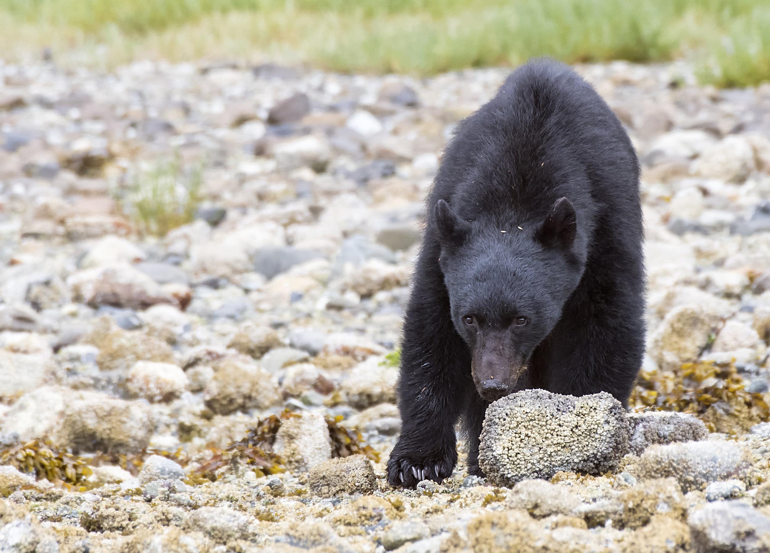 black bear hides behind a stone.jpg