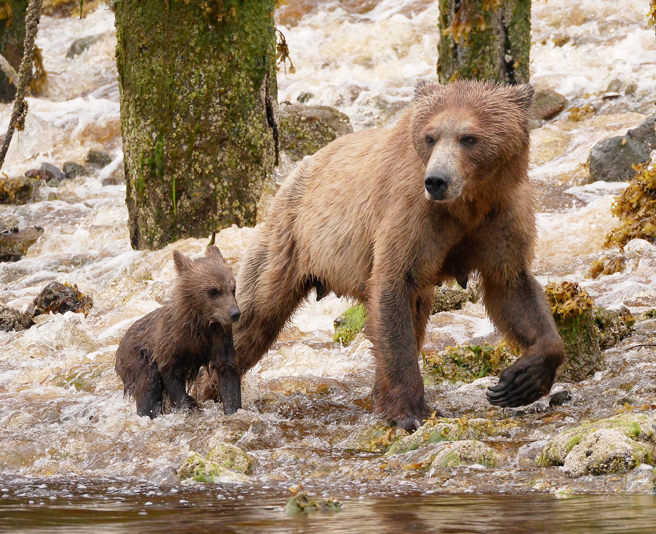 mom amd cub river crossing.jpg