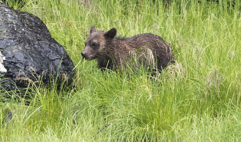 cub eating grass Lumix.jpg