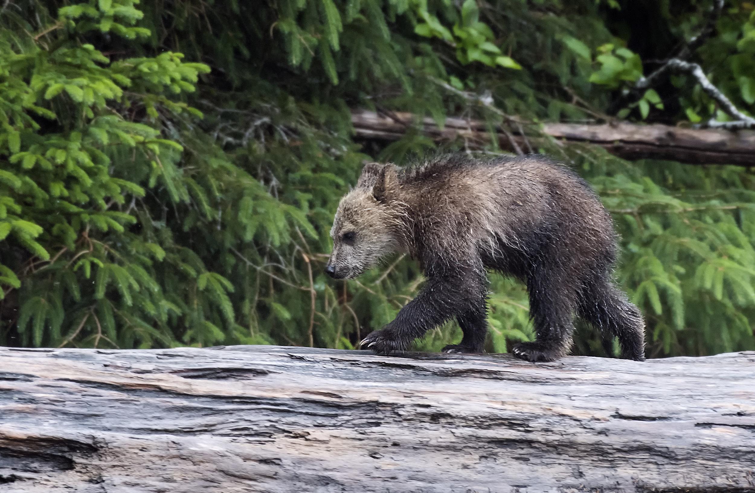 young cub on a log .jpg