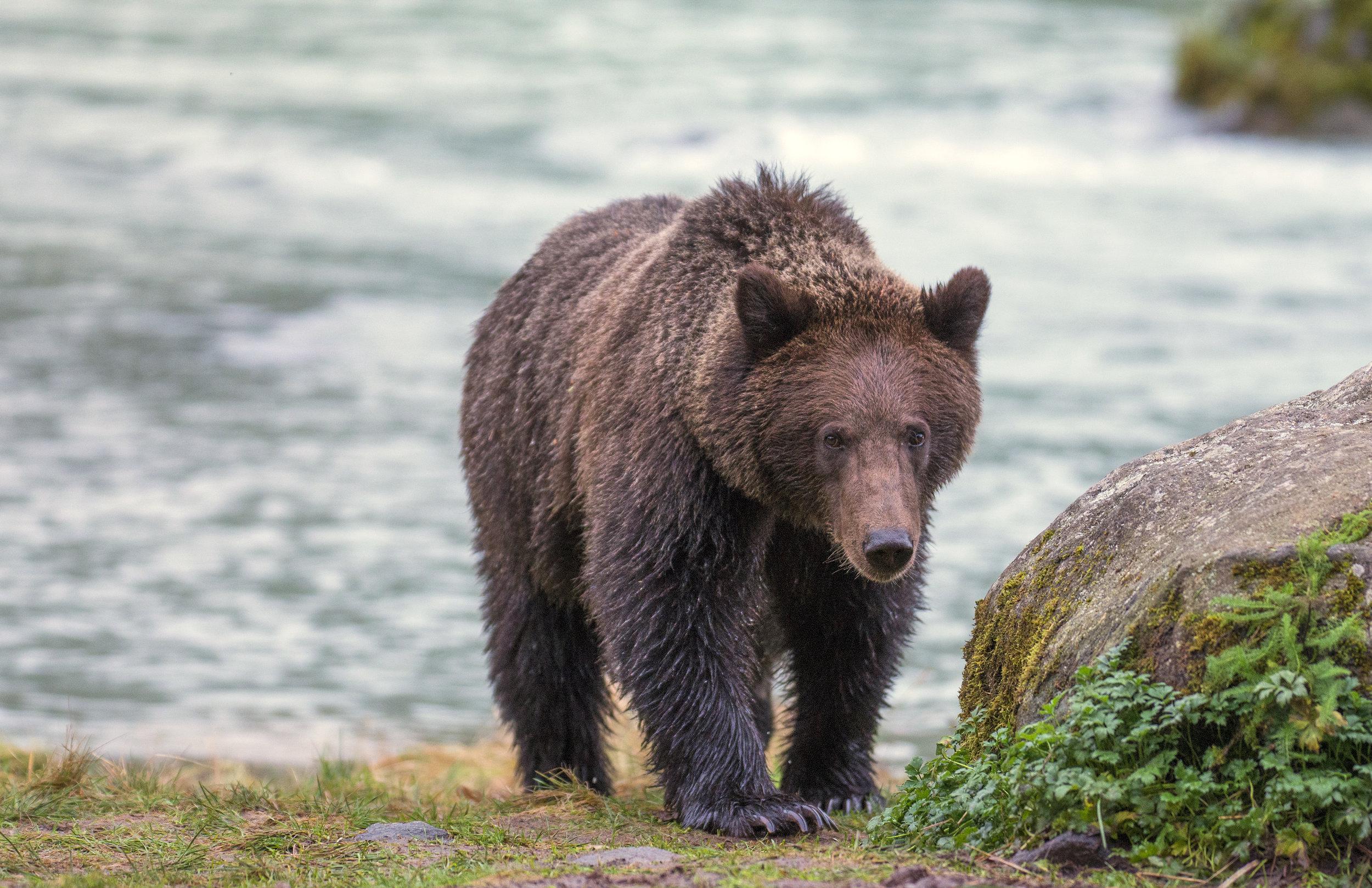 alaska grizzly.jpg