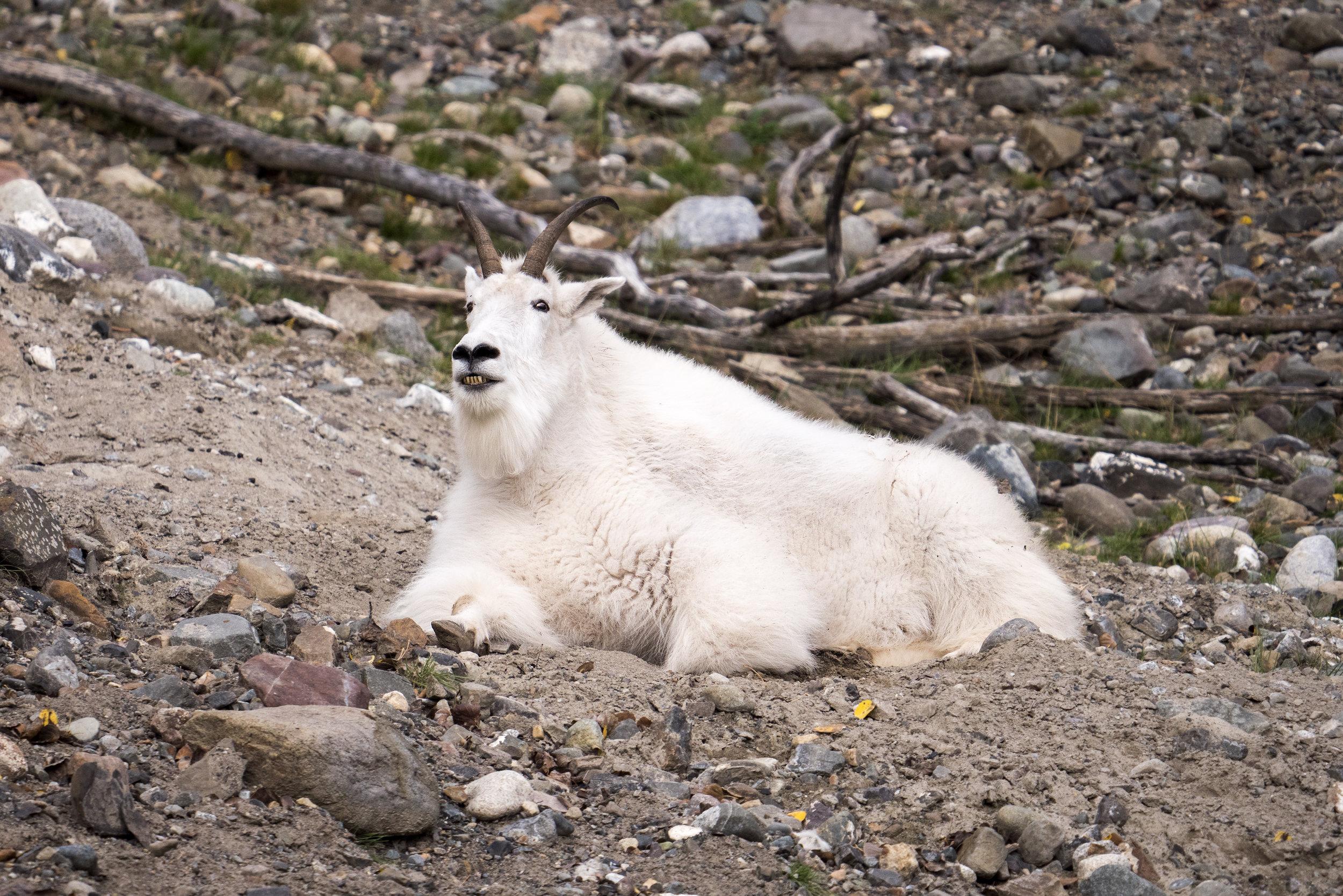 Mountian goat.jpg