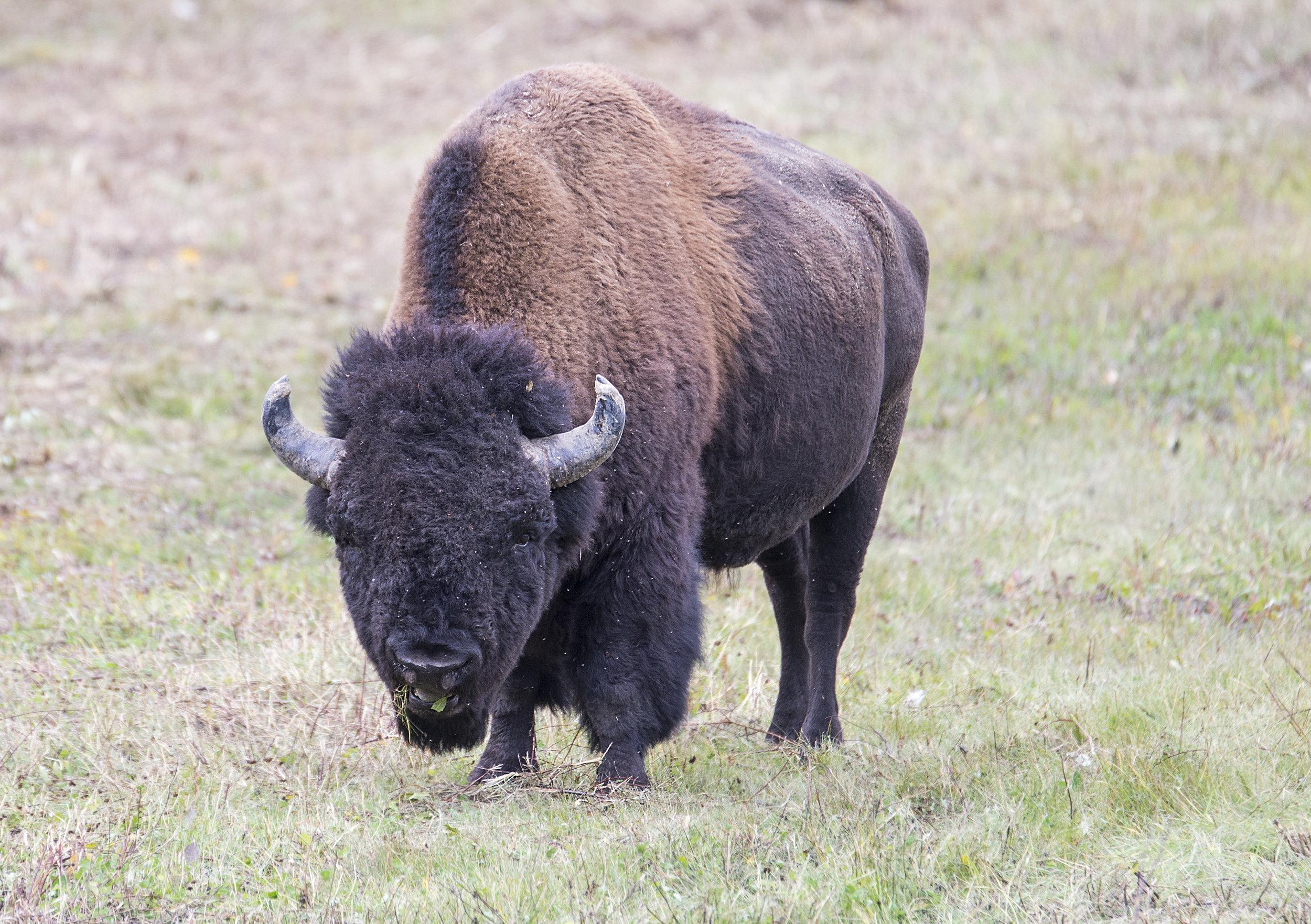 Bison eating lunch .jpg