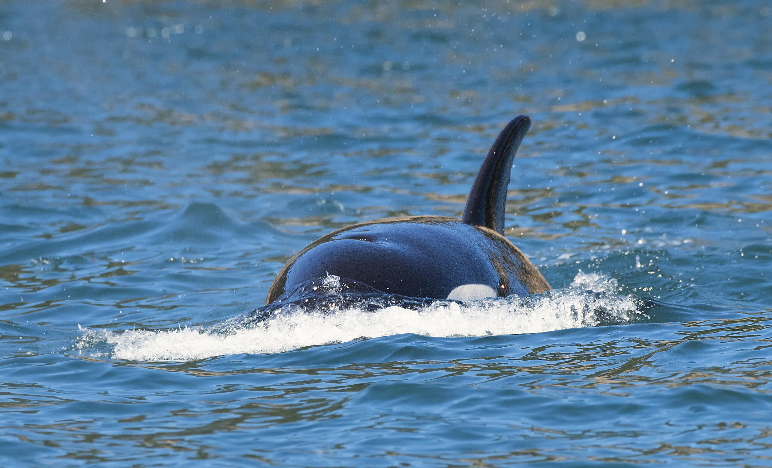 ocean water orca Chris Pepper