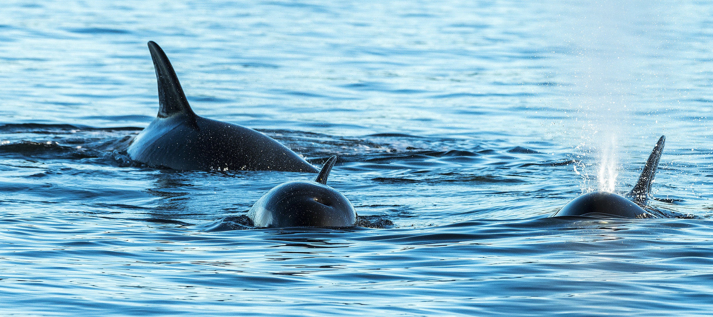 Orca whales hunting seals Chris Pepper