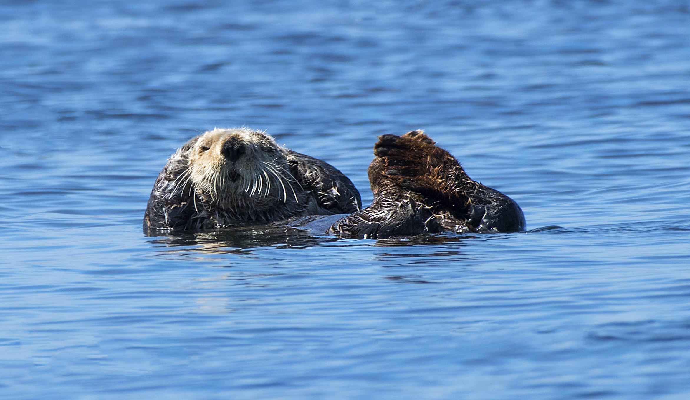laid back otter Chris Pepper