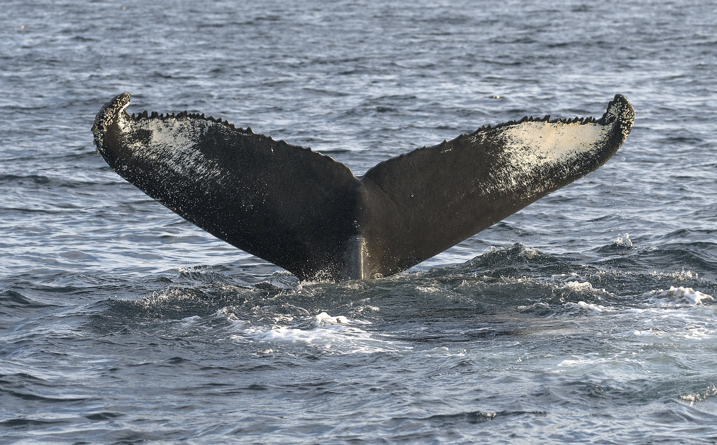 Humpback tail photo Chris Pepper