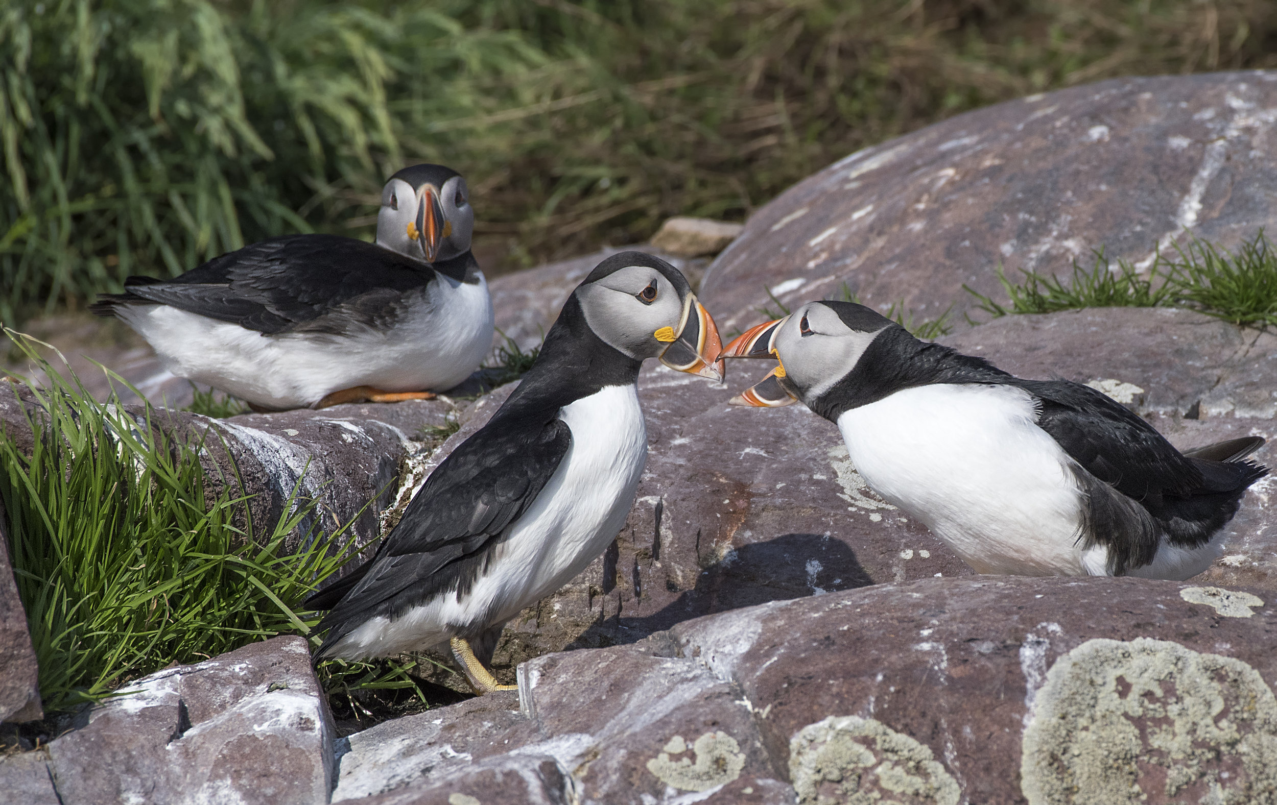 3 puffins on the rocks .jpg