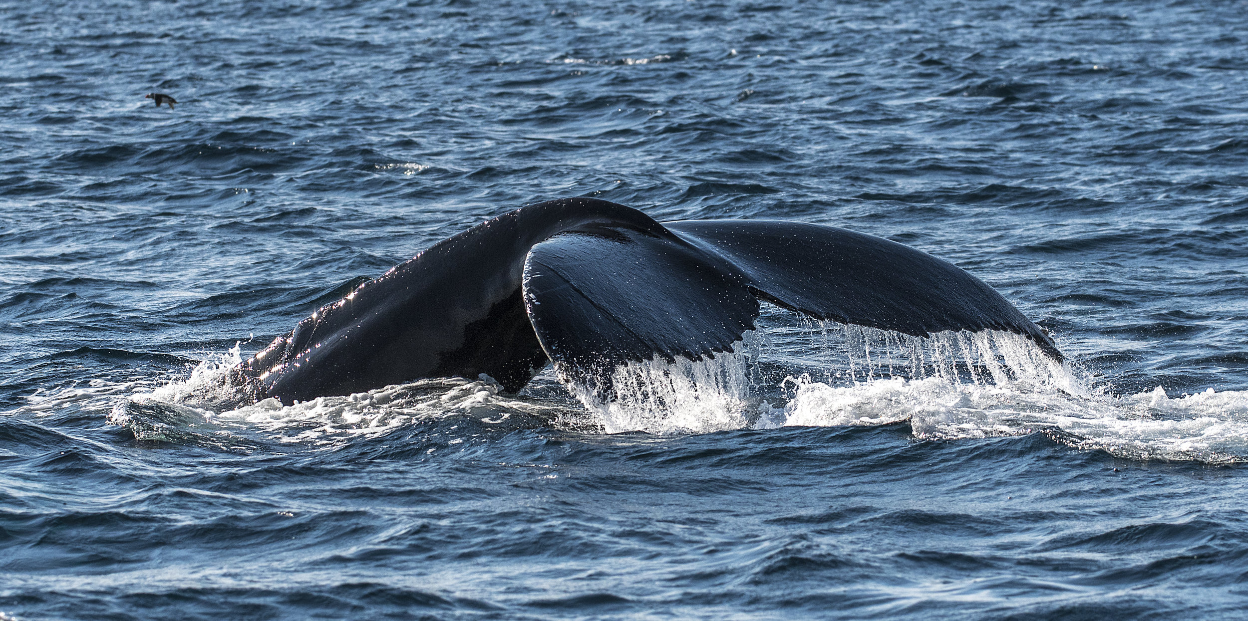 Humpback Whale tail Chris Pepper
