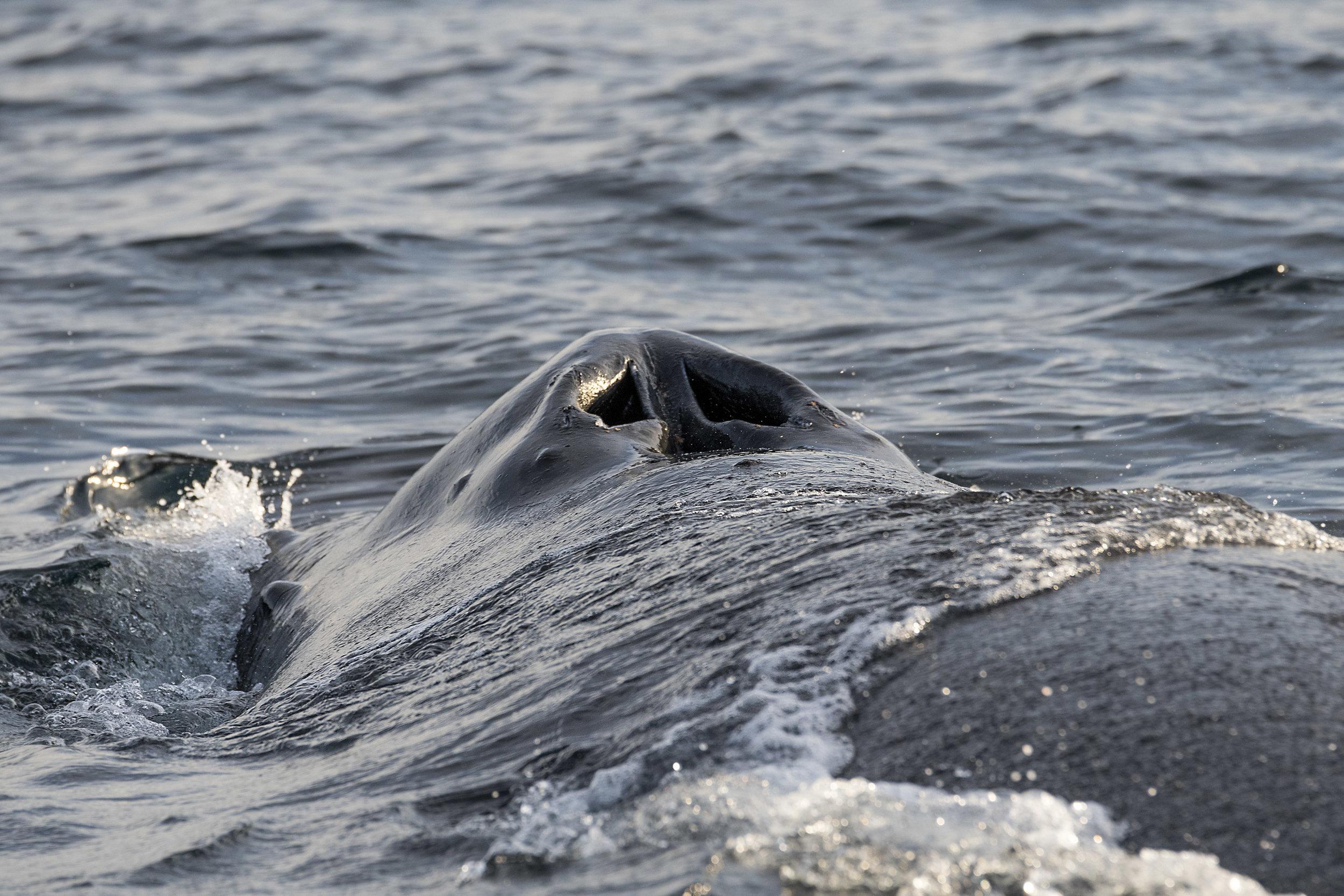 humpback blowhole Chris Pepper