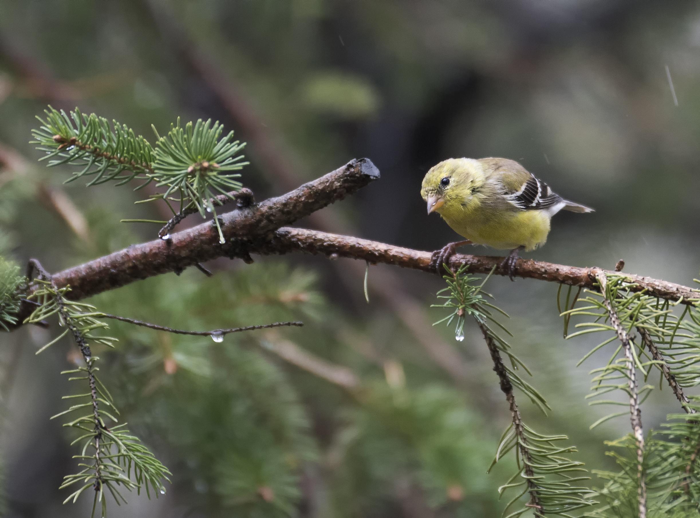 goldfinch .jpg