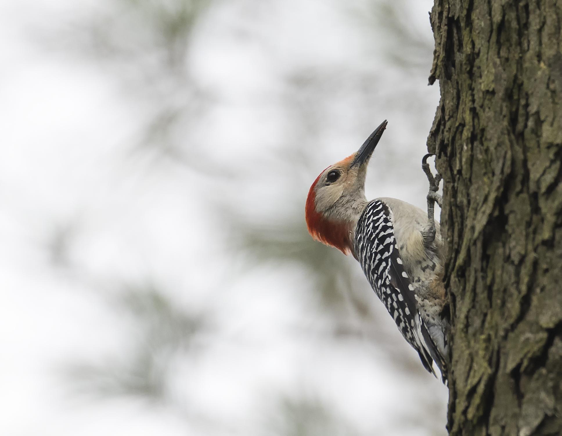 red bellied woodpecker .jpg