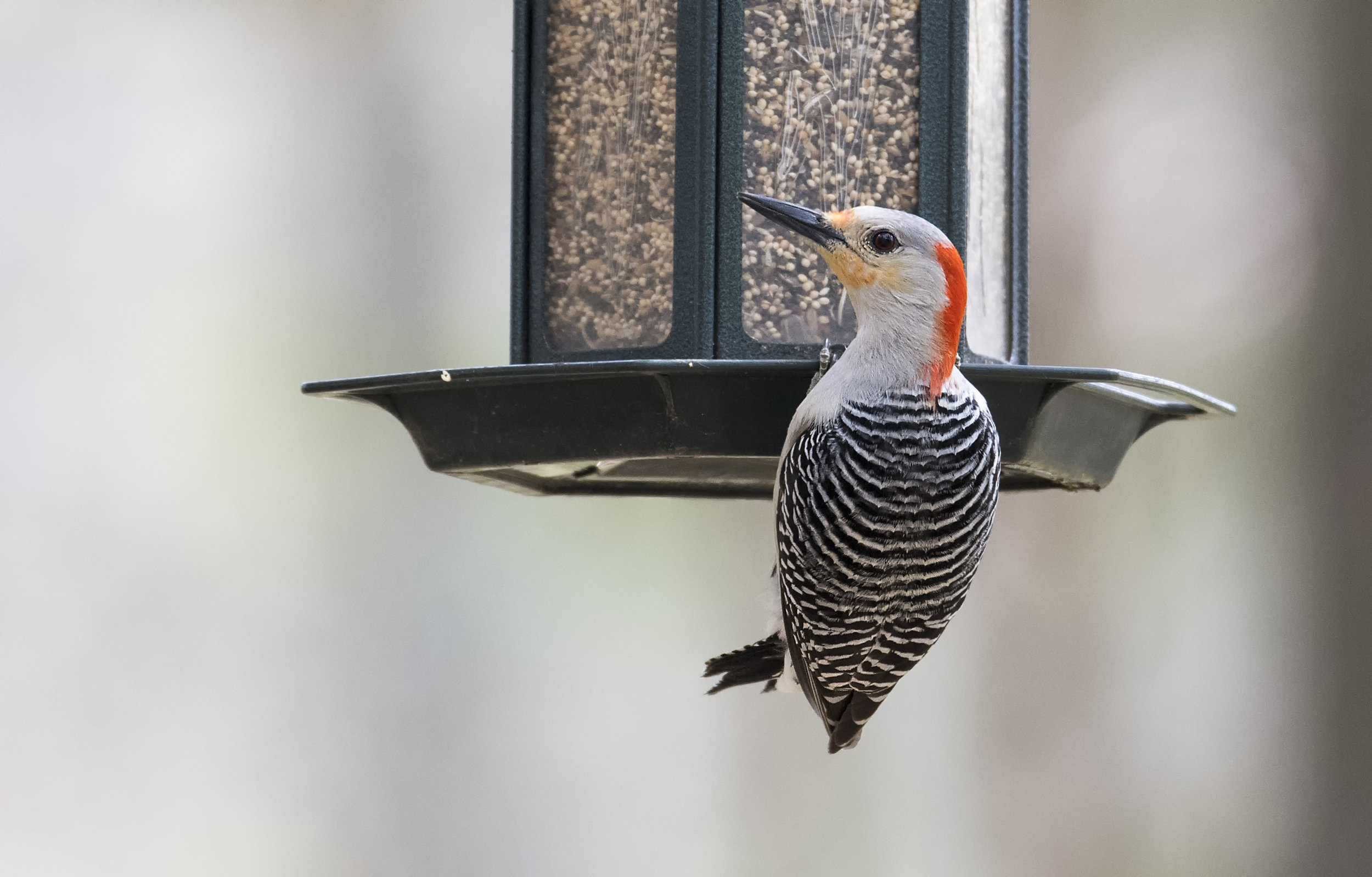 red bellied woodpecker 1.jpg