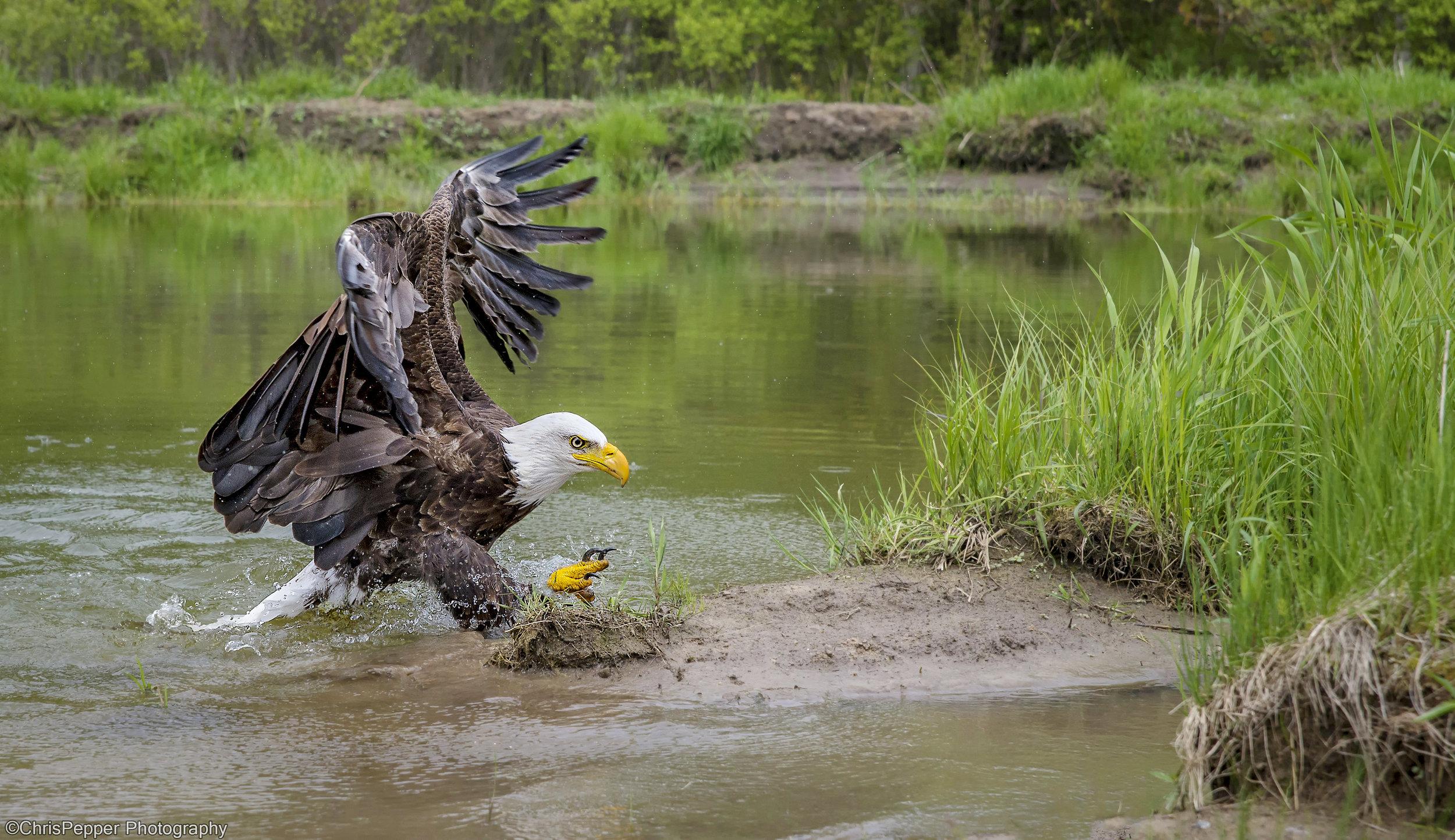 Bald eagle dinner dive.jpg