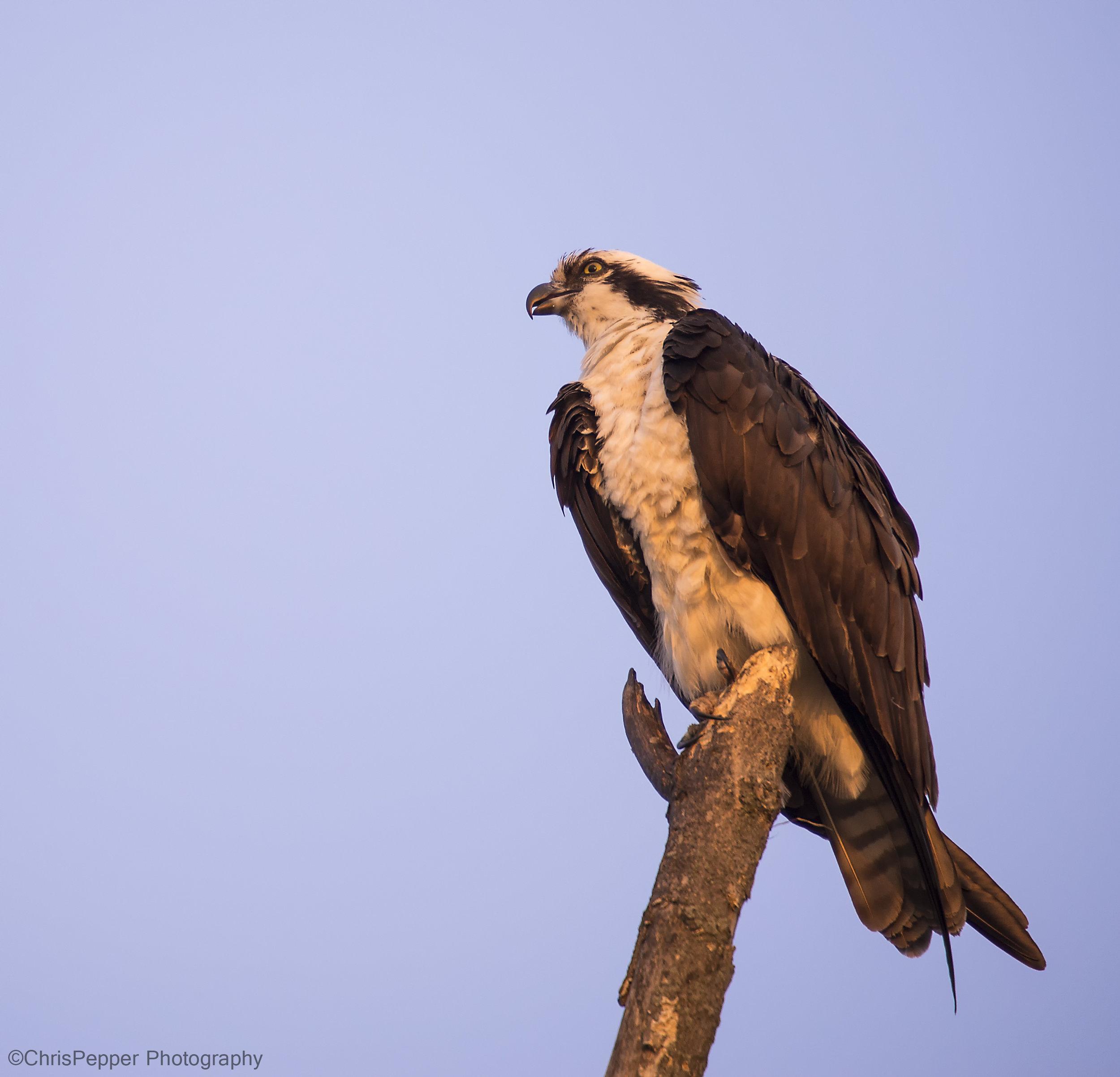 Early am Osprey.jpg