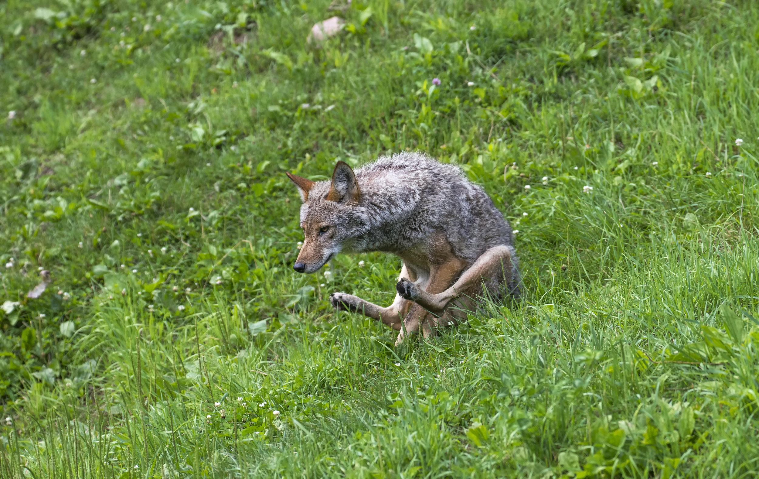 Ass sliding coyote.jpg