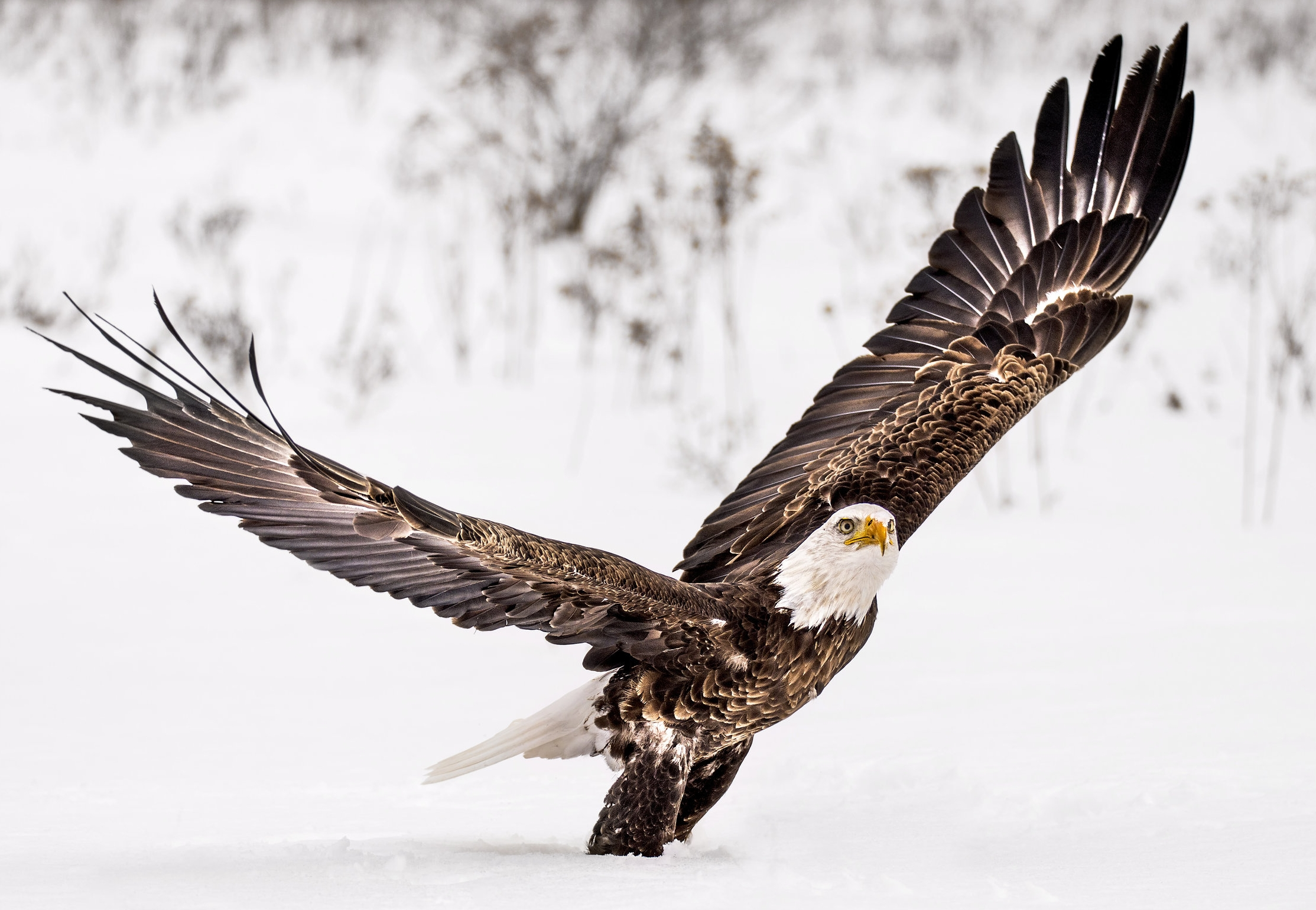Bald Eagle - ( Flight and Static Photos )The Bald Eagle dwarfs most other raptors, including the Turkey Vulture and Red-tailed Hawk. It has a heavy body, large head, and long, hooked bill. In flight, a Bald Eagle holds its broad wings flat like a board.