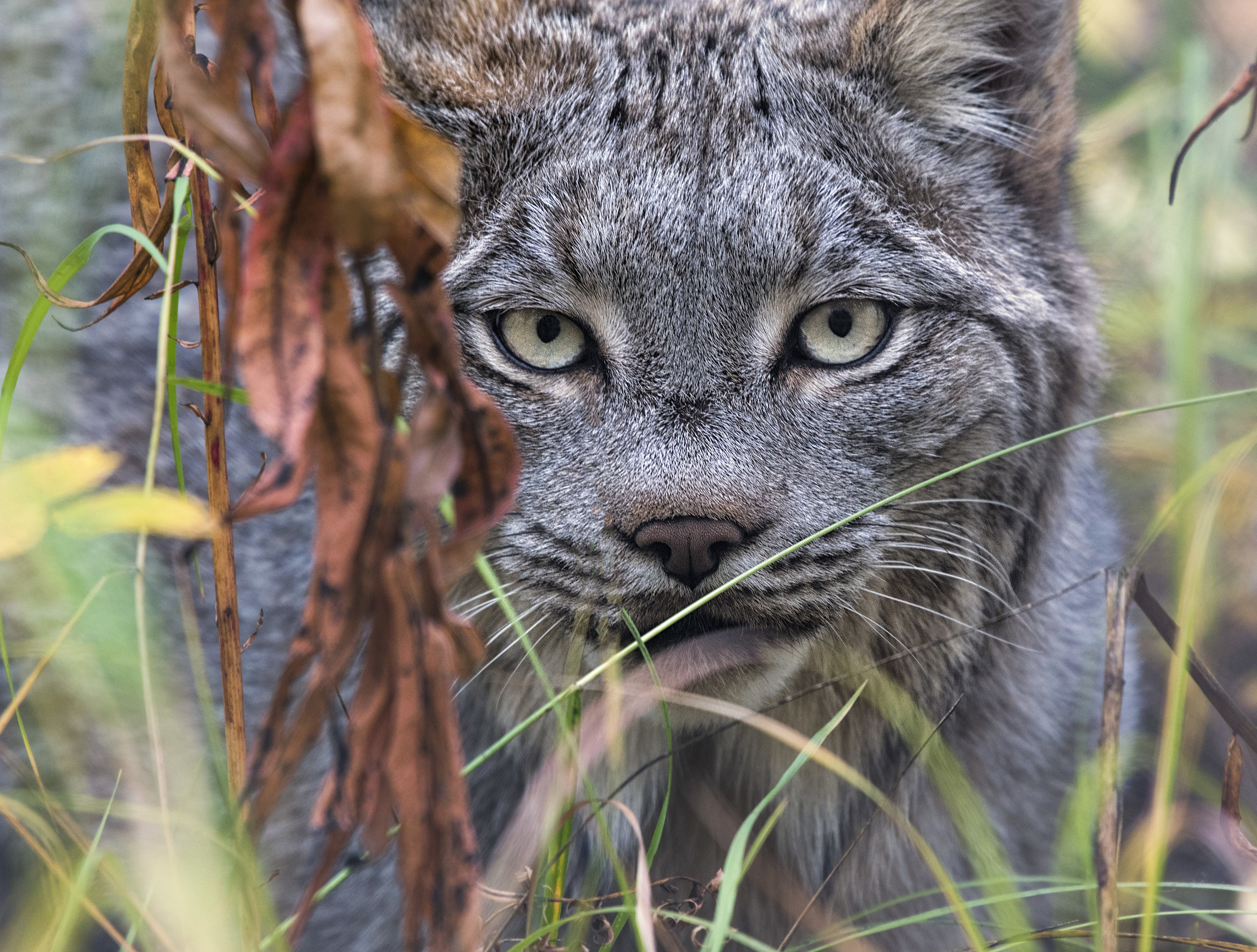 Canadian Lynx in Yukon Chris Pepper