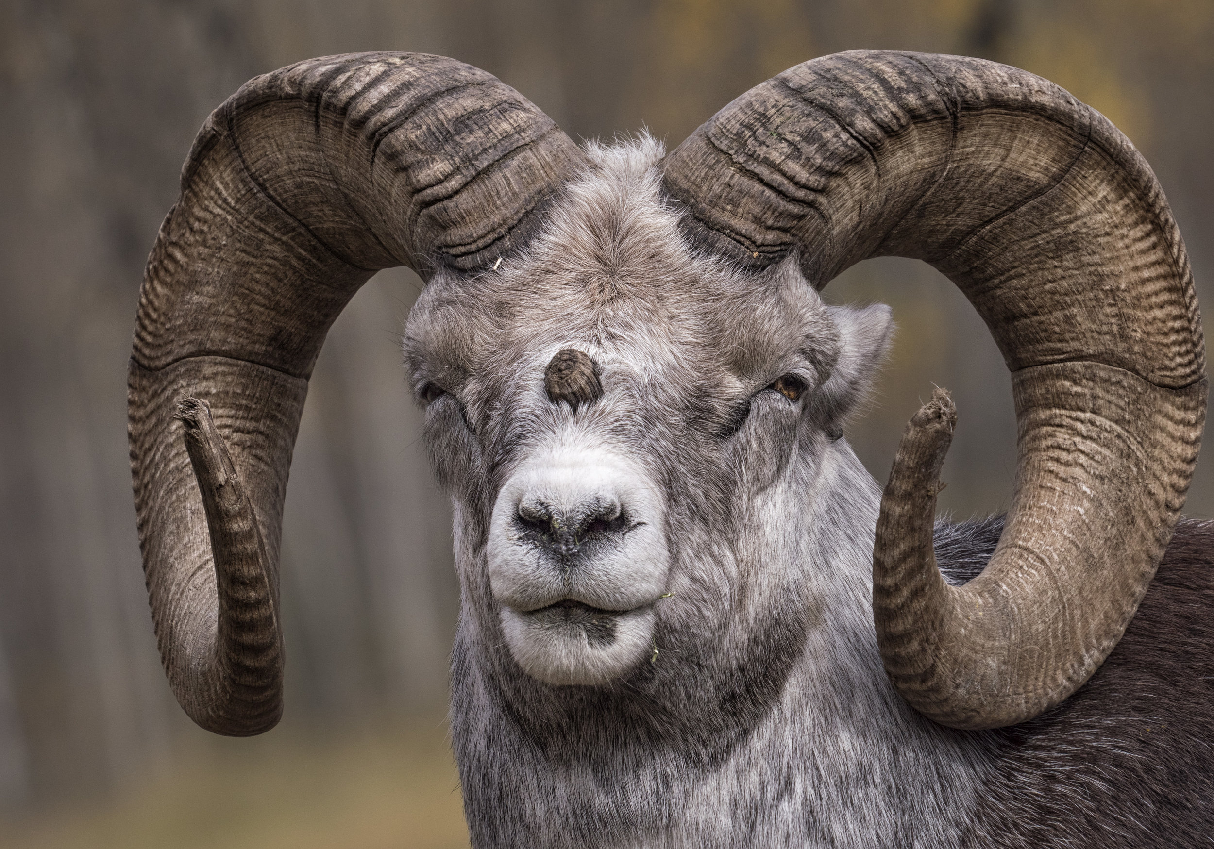 Sheep portrait in Yukon by Chris Pepper