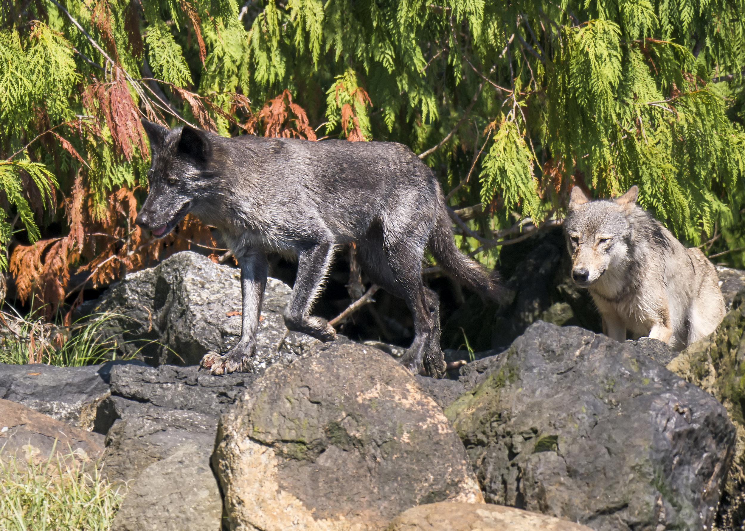 wolves in BC G85.jpg