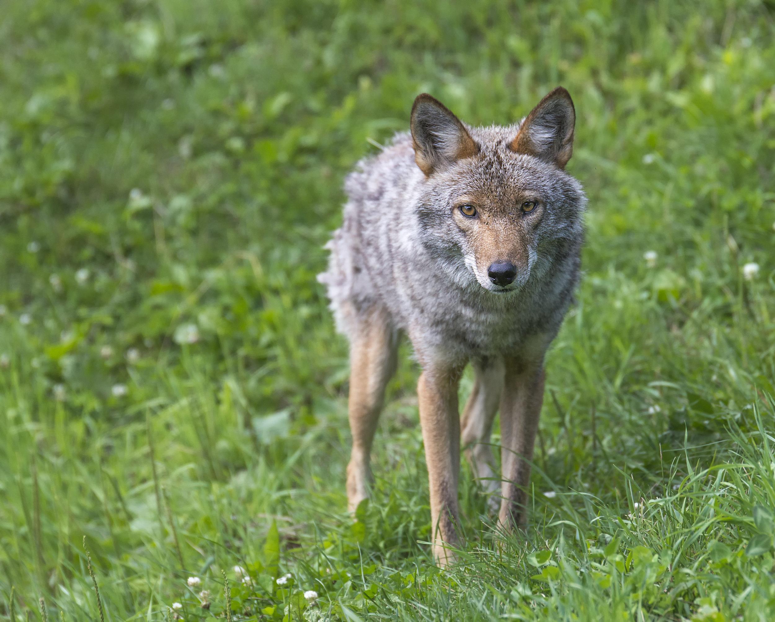 Coyote stare down.jpg