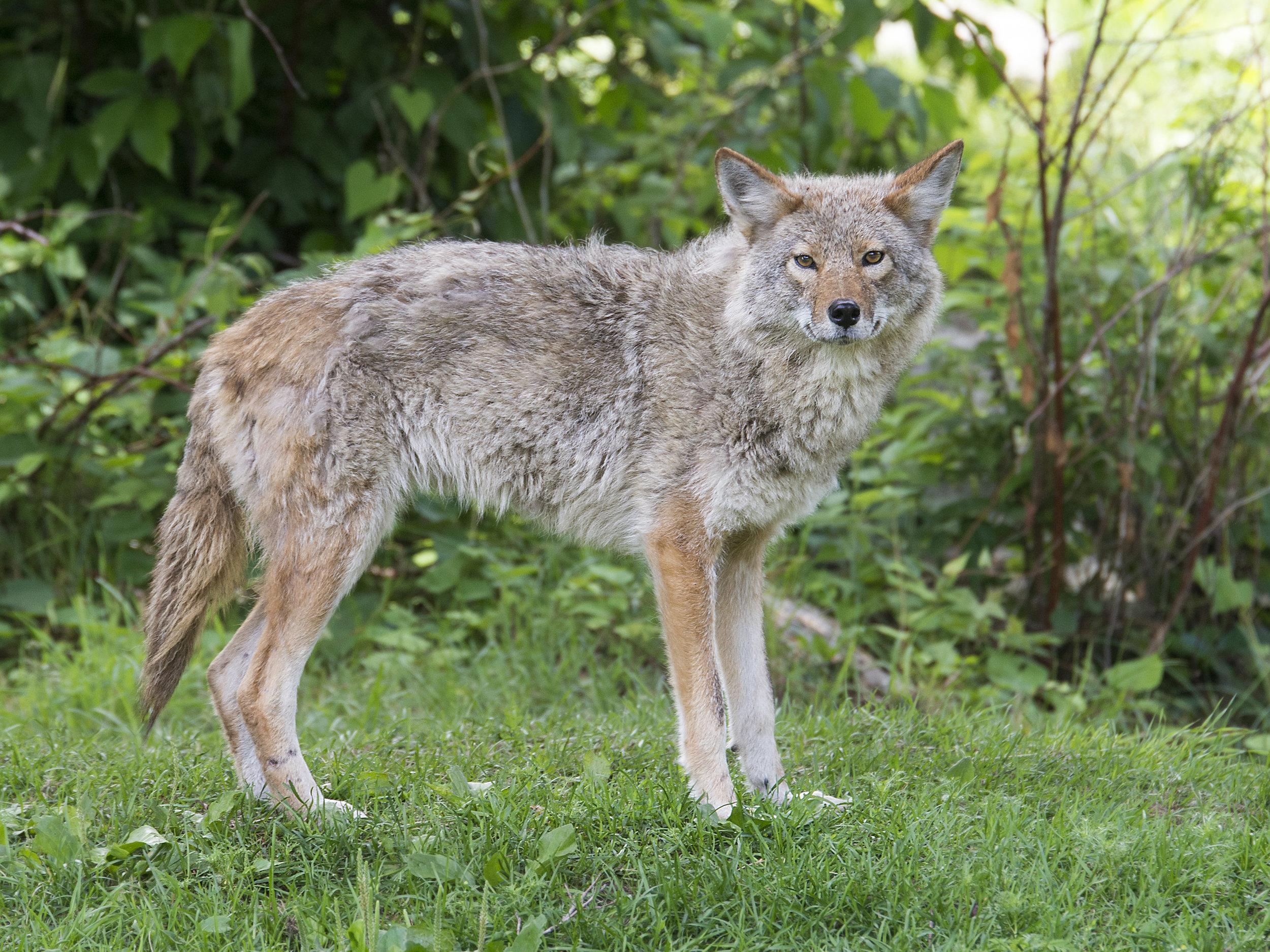 Cyote.jpg
