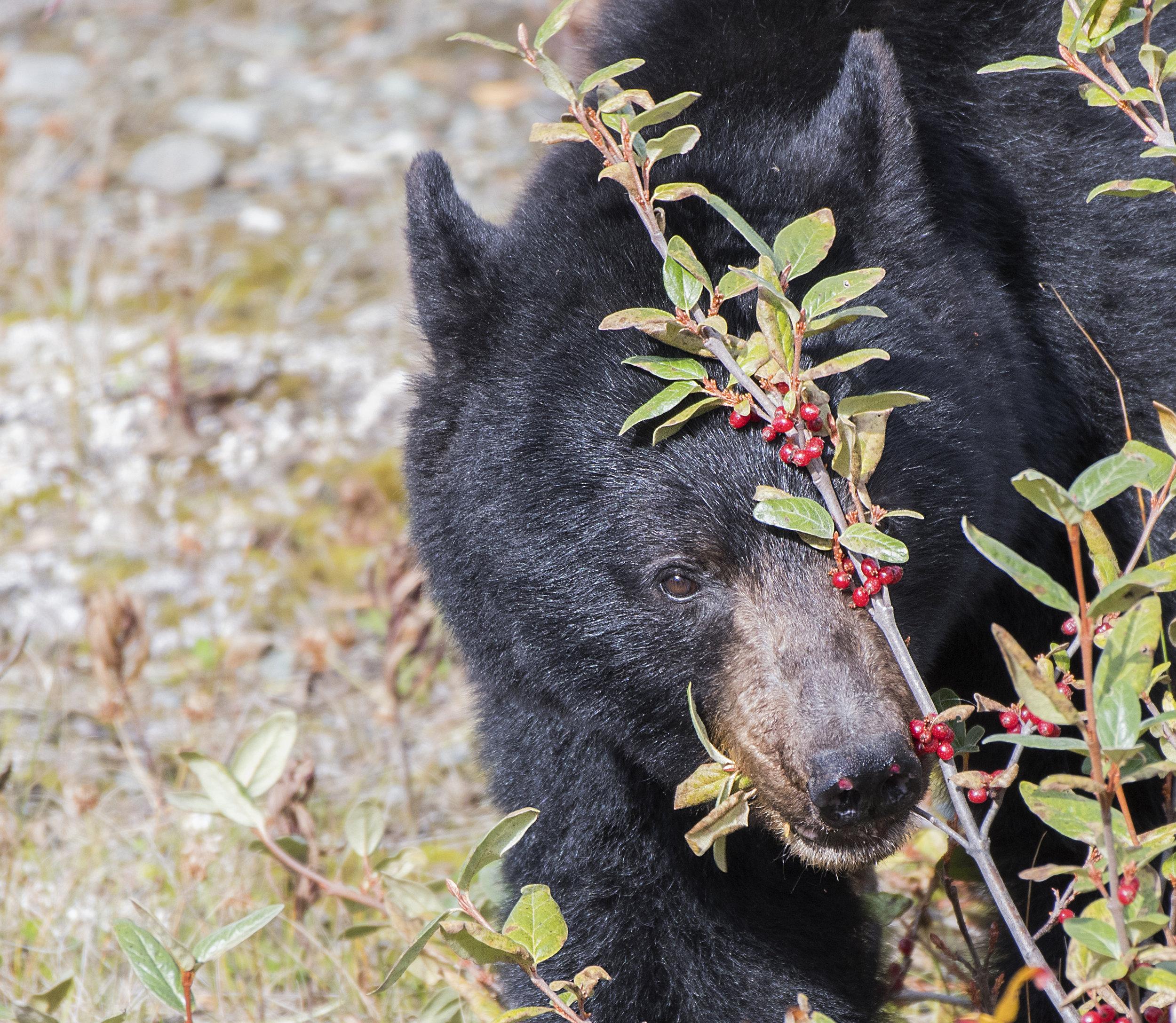 caught eating berries ig crop.jpg