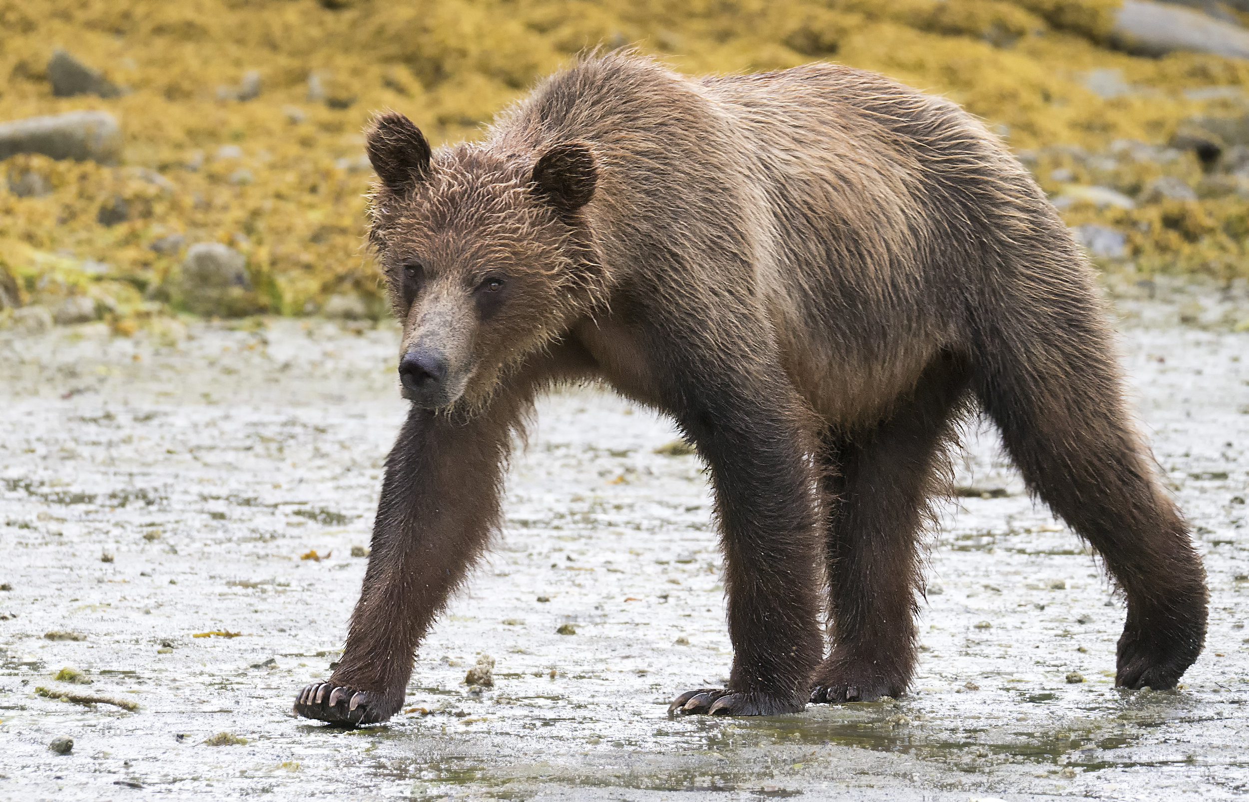 Grizzly bear in BC G85.jpg