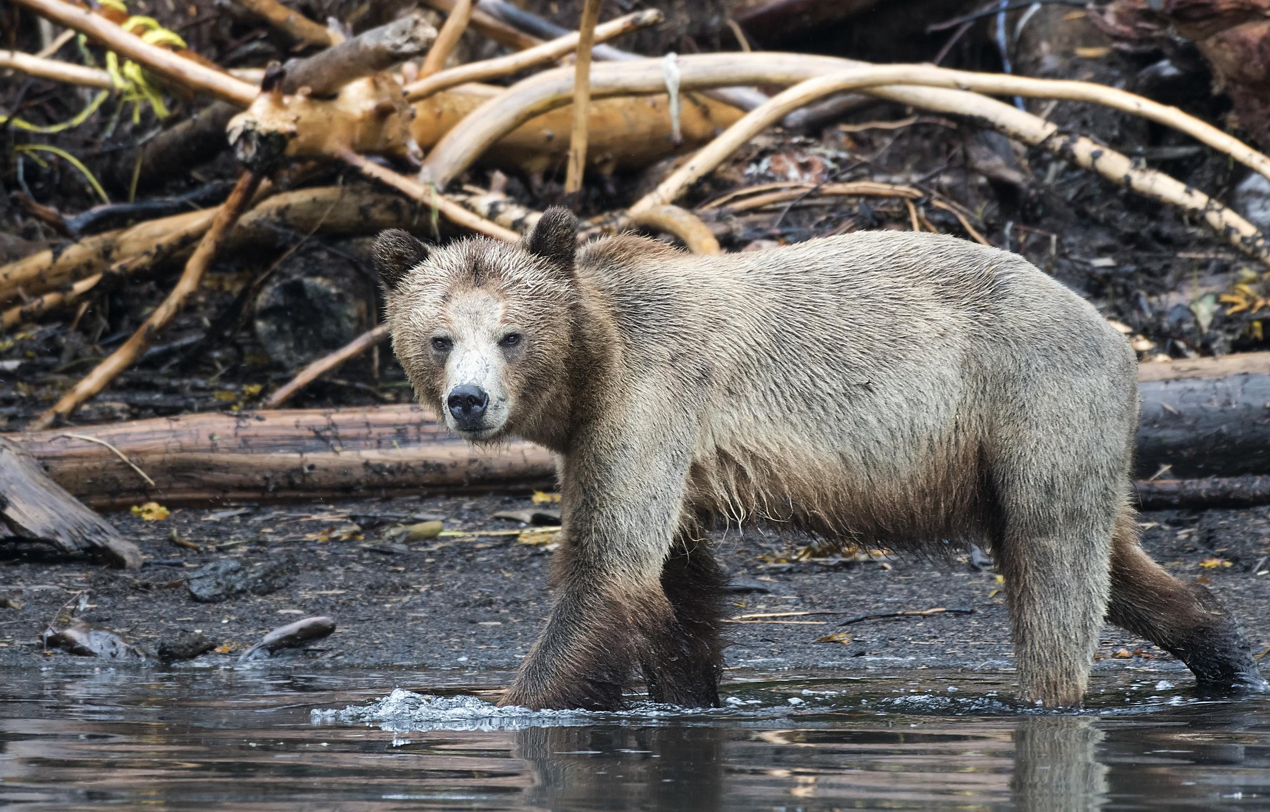 grizzlymomma.jpg