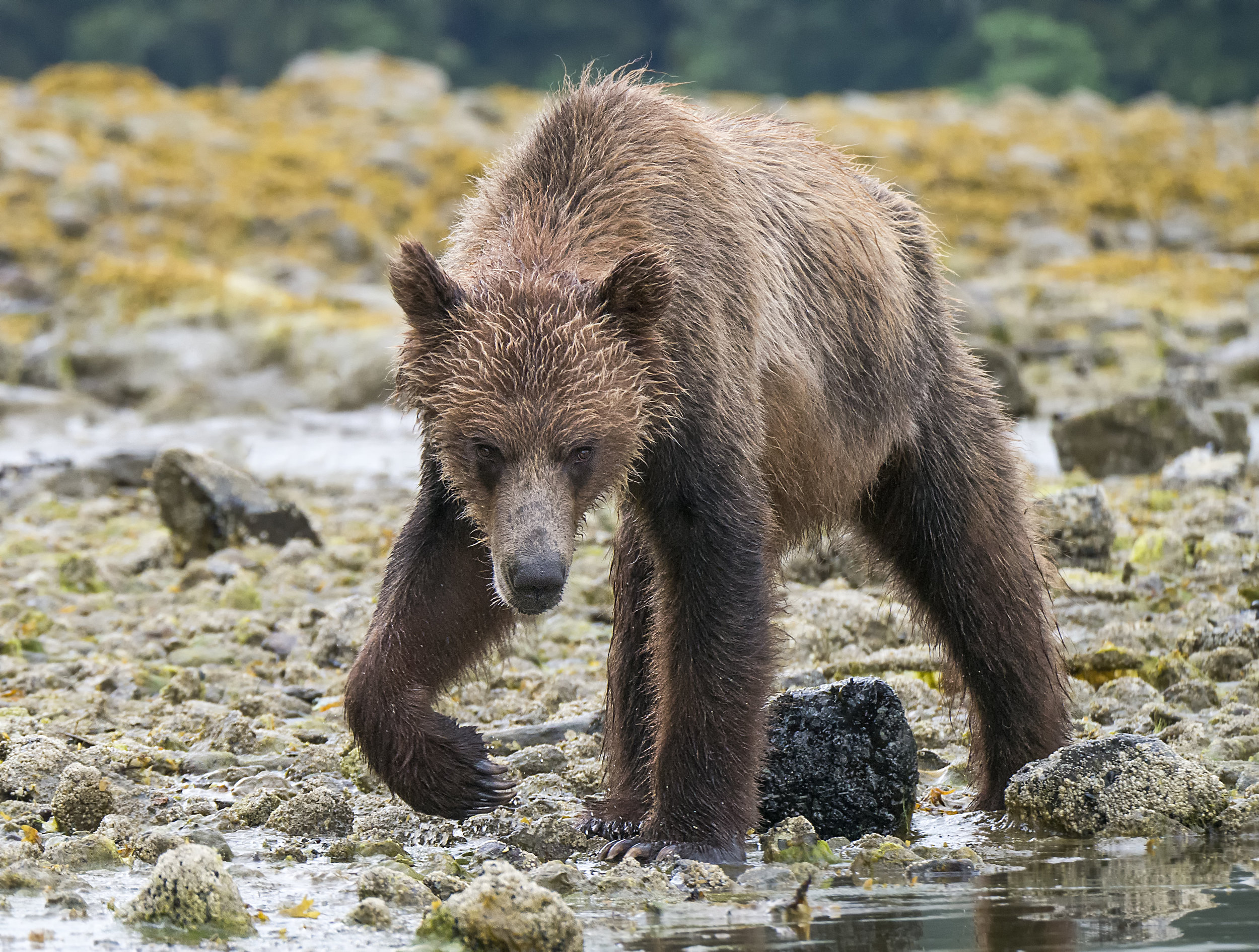Lumix grizzly flipping rocks G85.jpg