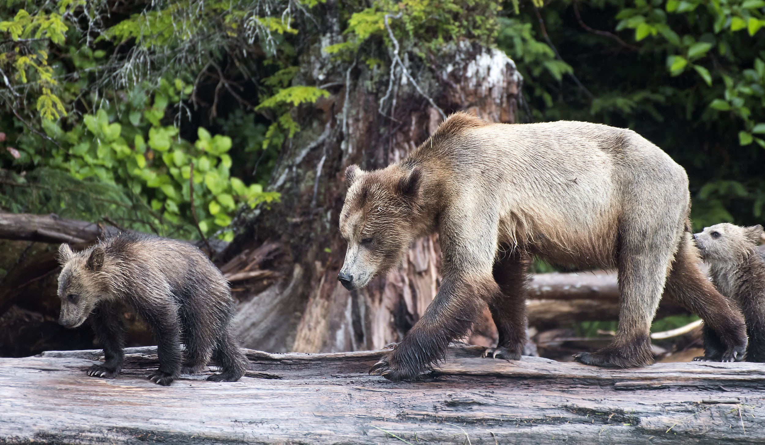 Momma bear log crossing.jpg